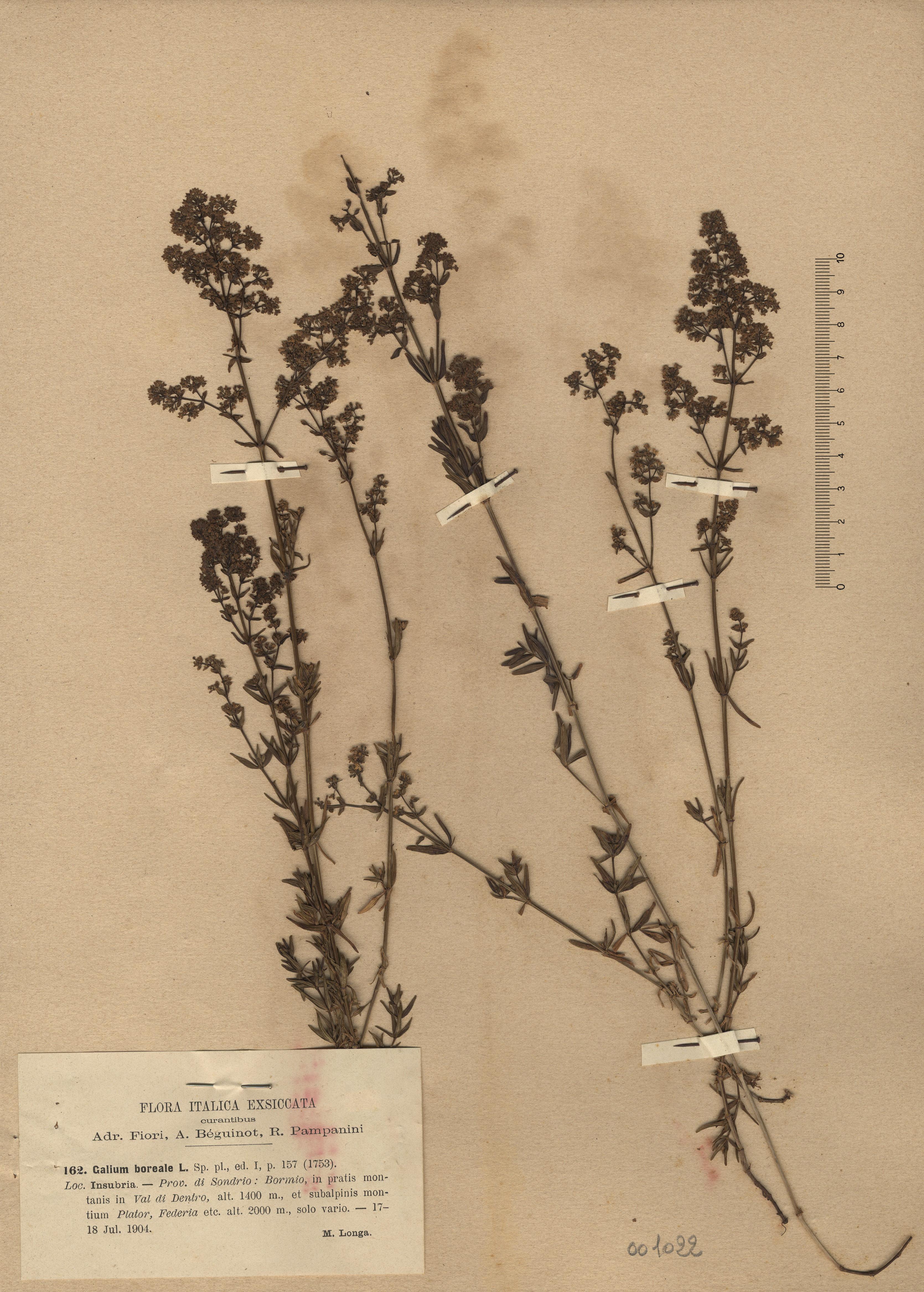 © Hortus Botanicus Catinensis - Herb. sheet 001022<br>