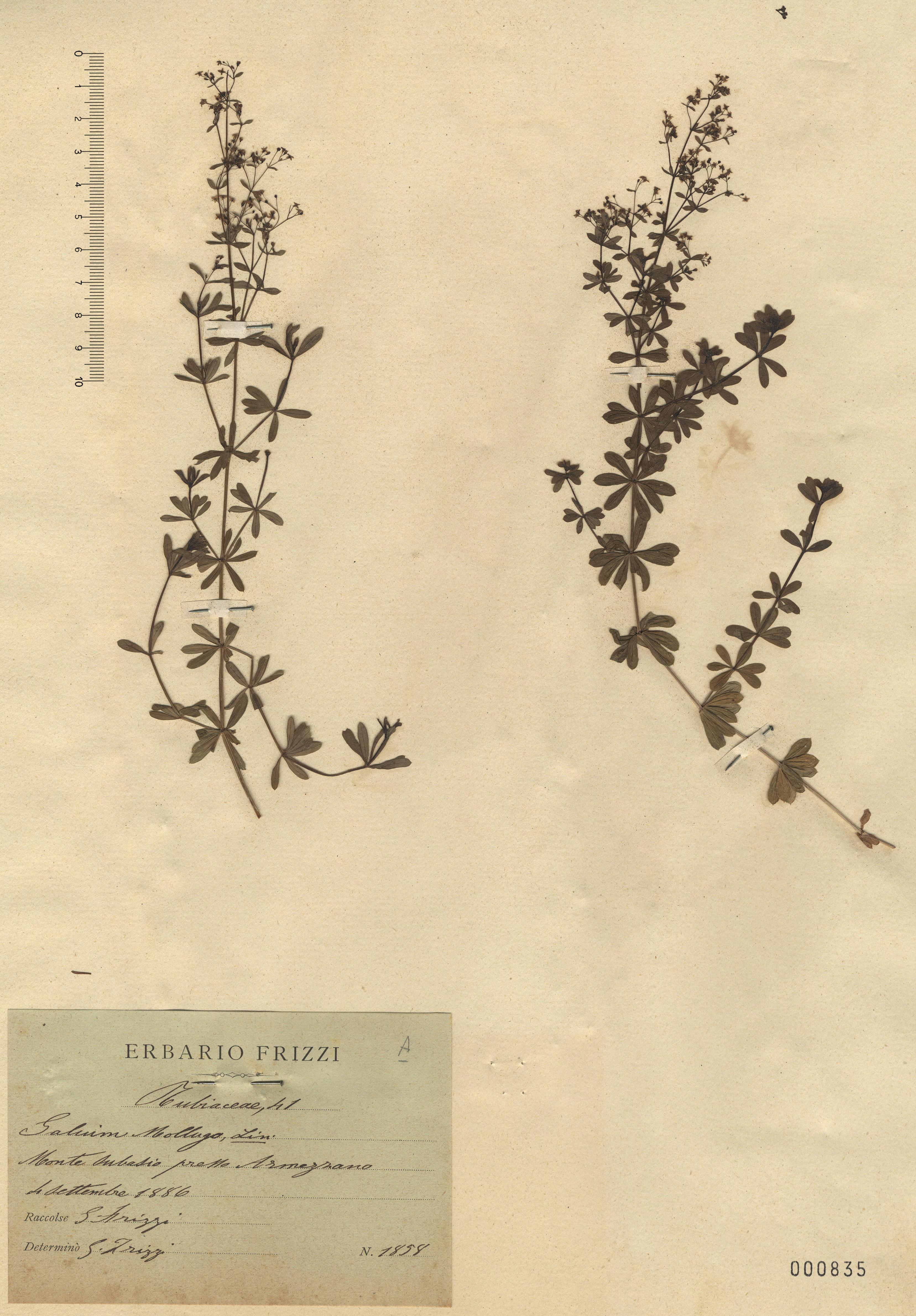 © Hortus Botanicus Catinensis - Herb. sheet 000835<br>