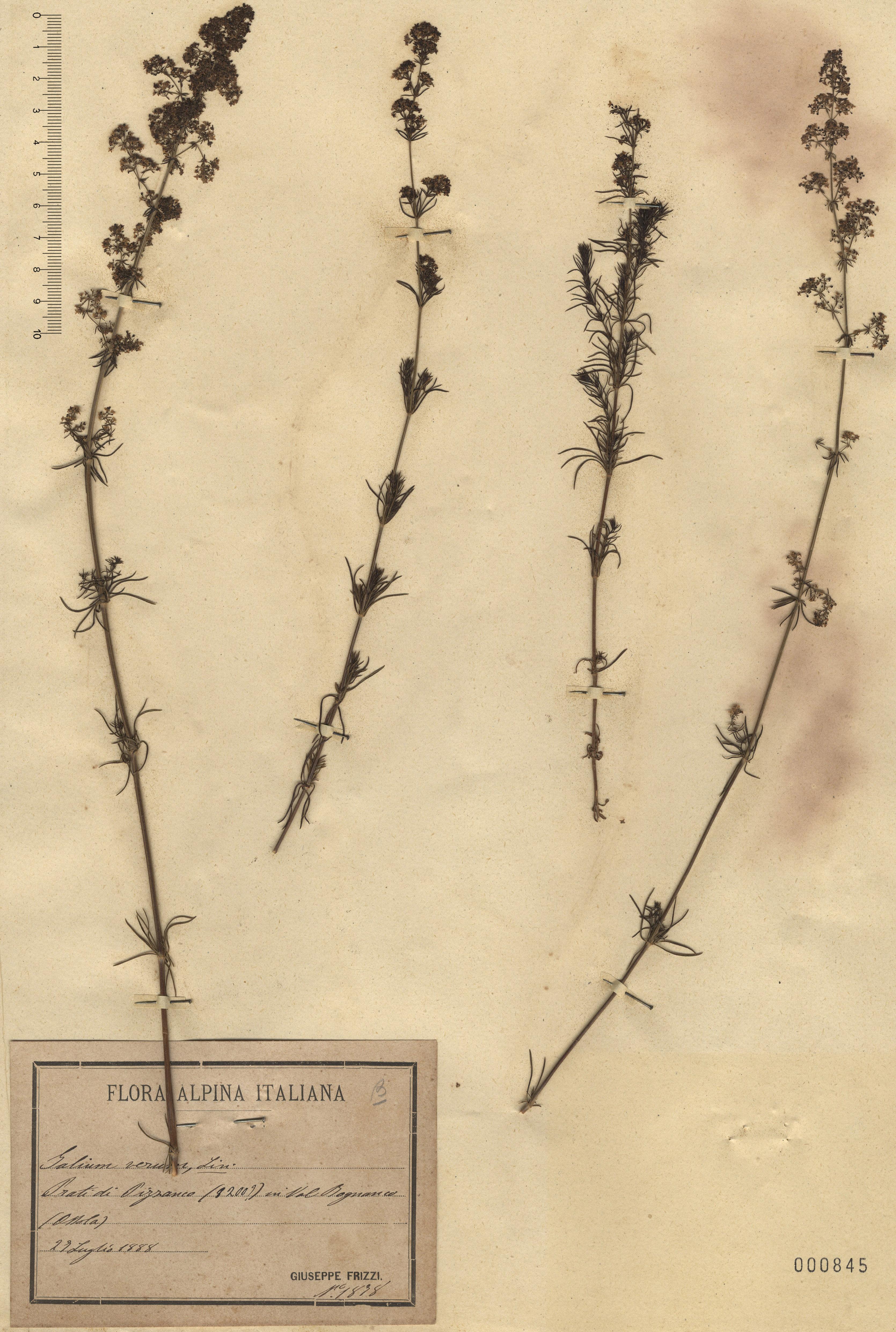 © Hortus Botanicus Catinensis - Herb. sheet 000845<br>