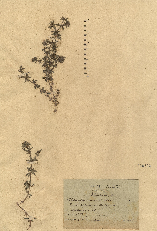 © Hortus Botanicus Catinensis - Herb. sheet 000820<br>