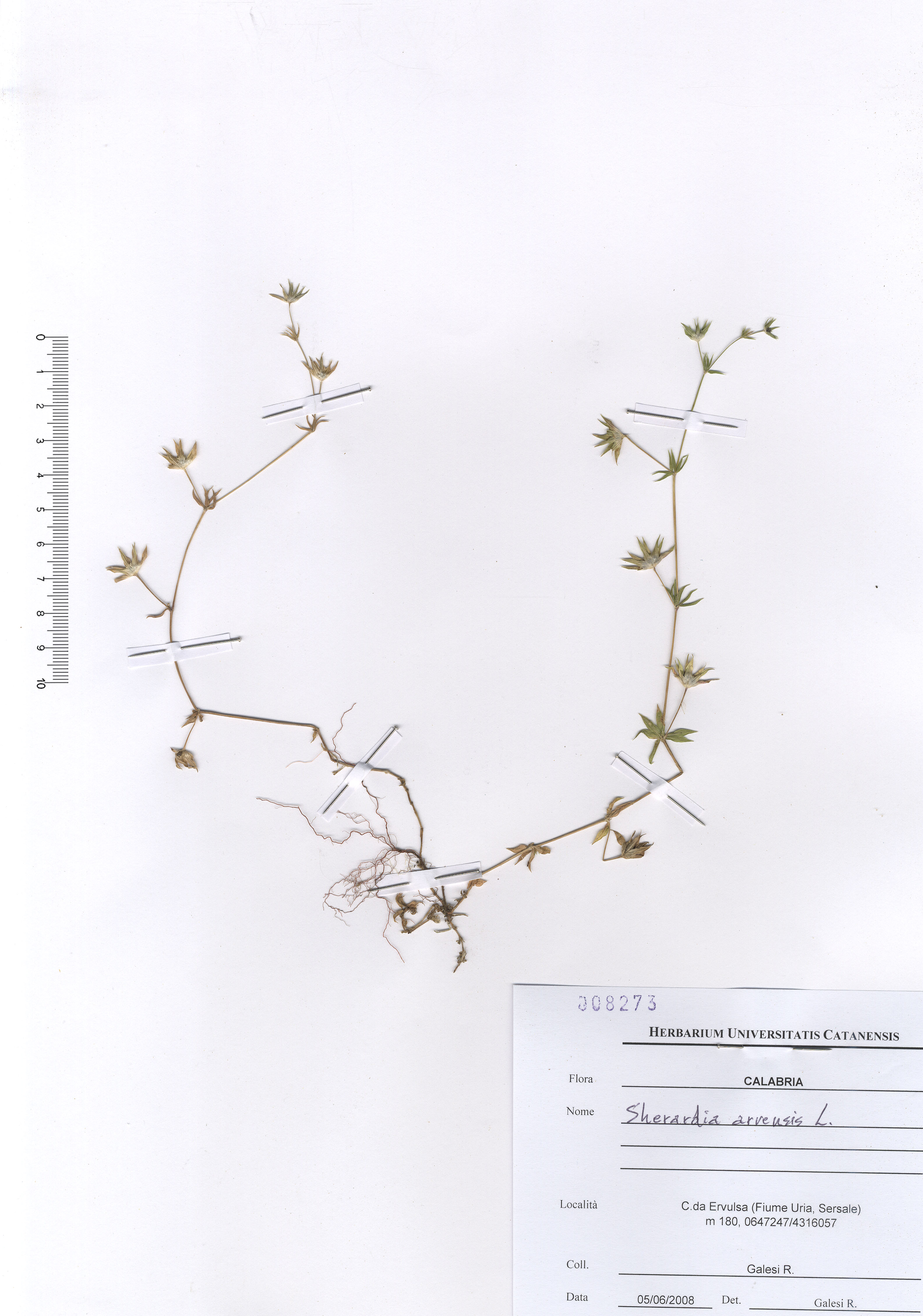 © Hortus Botanicus Catinensis - Herb. sheet 008273<br>