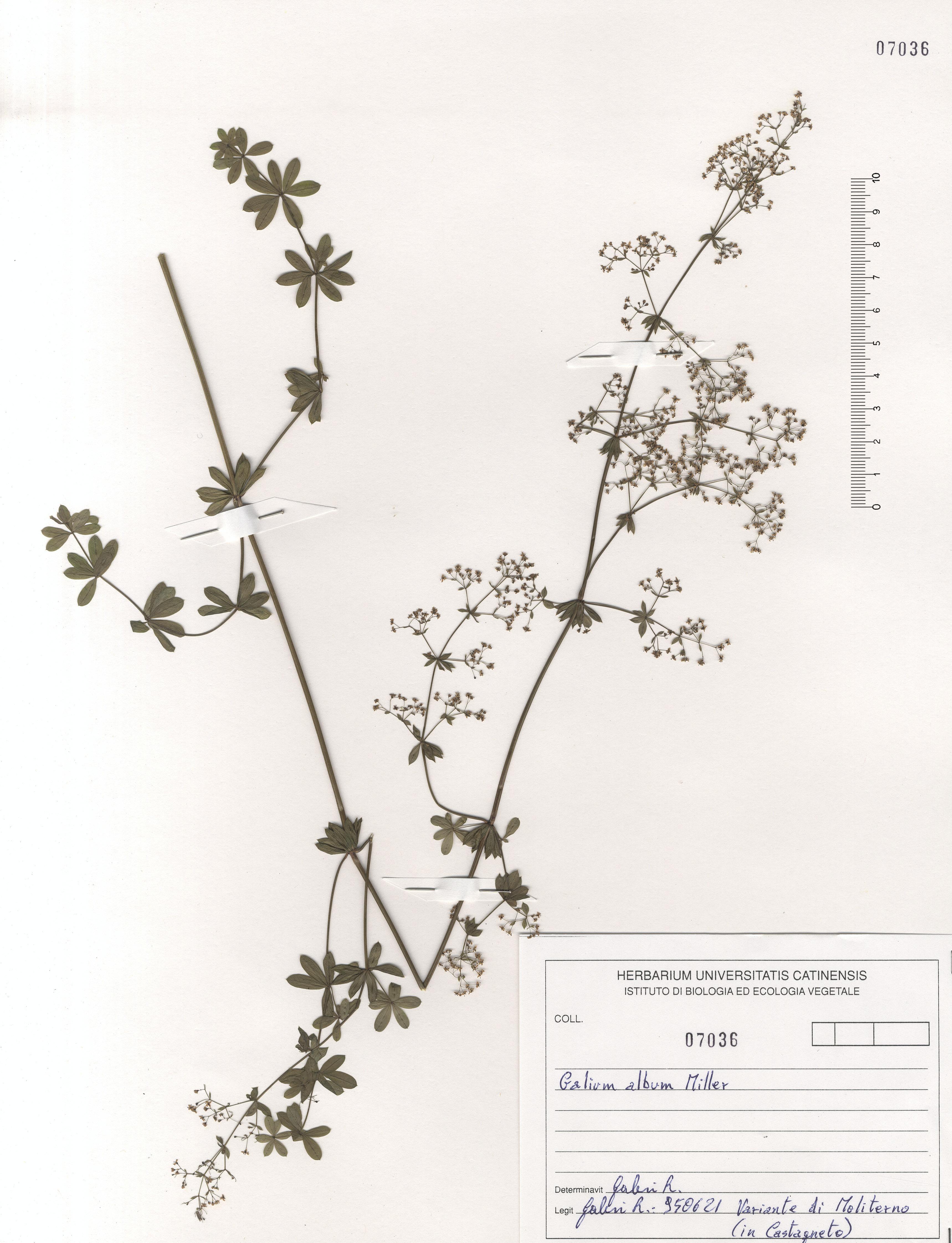 © Hortus Botanicus Catinensis - Herb. sheet 107036<br>