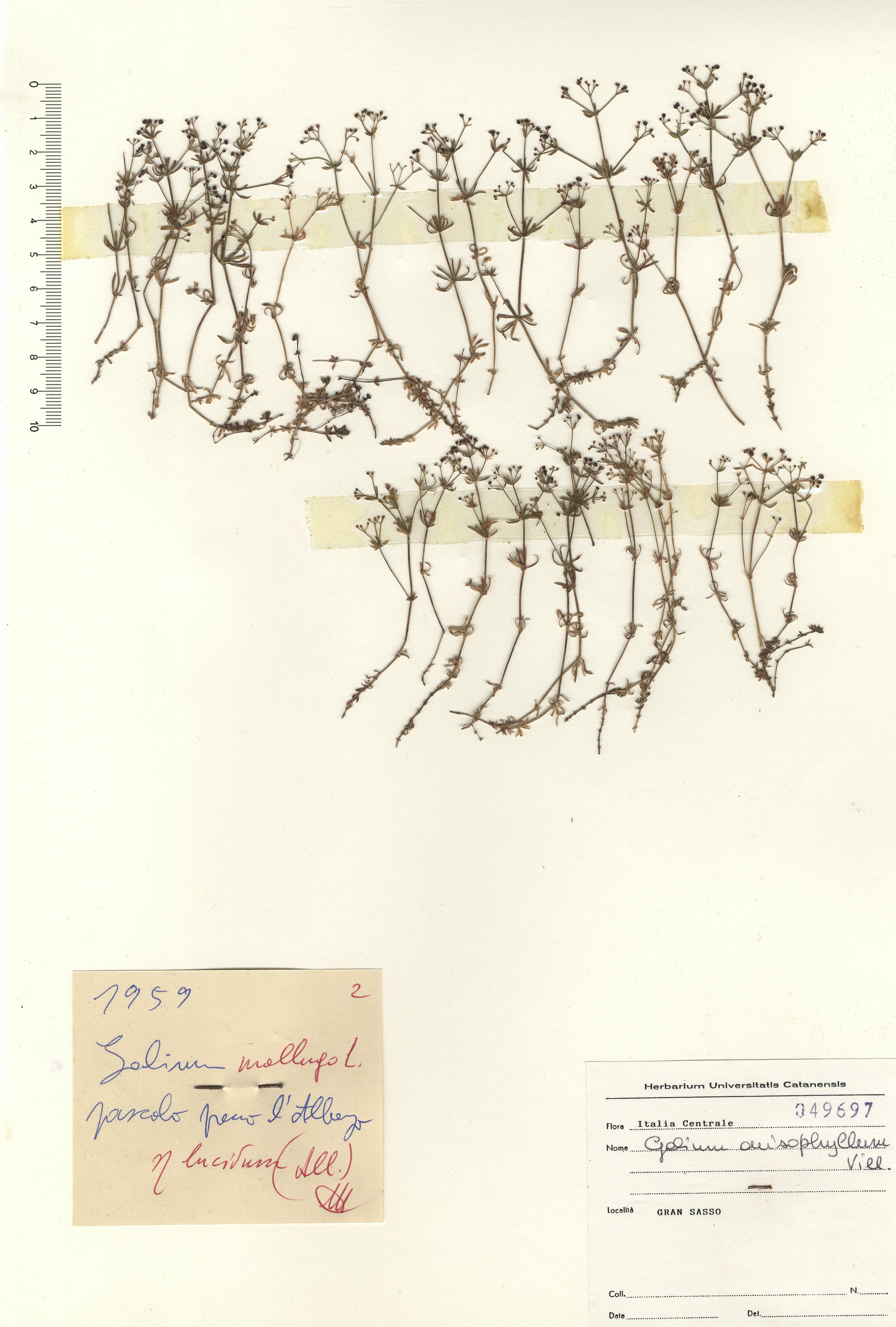 © Hortus Botanicus Catinensis - Herb. sheet 049697<br>
