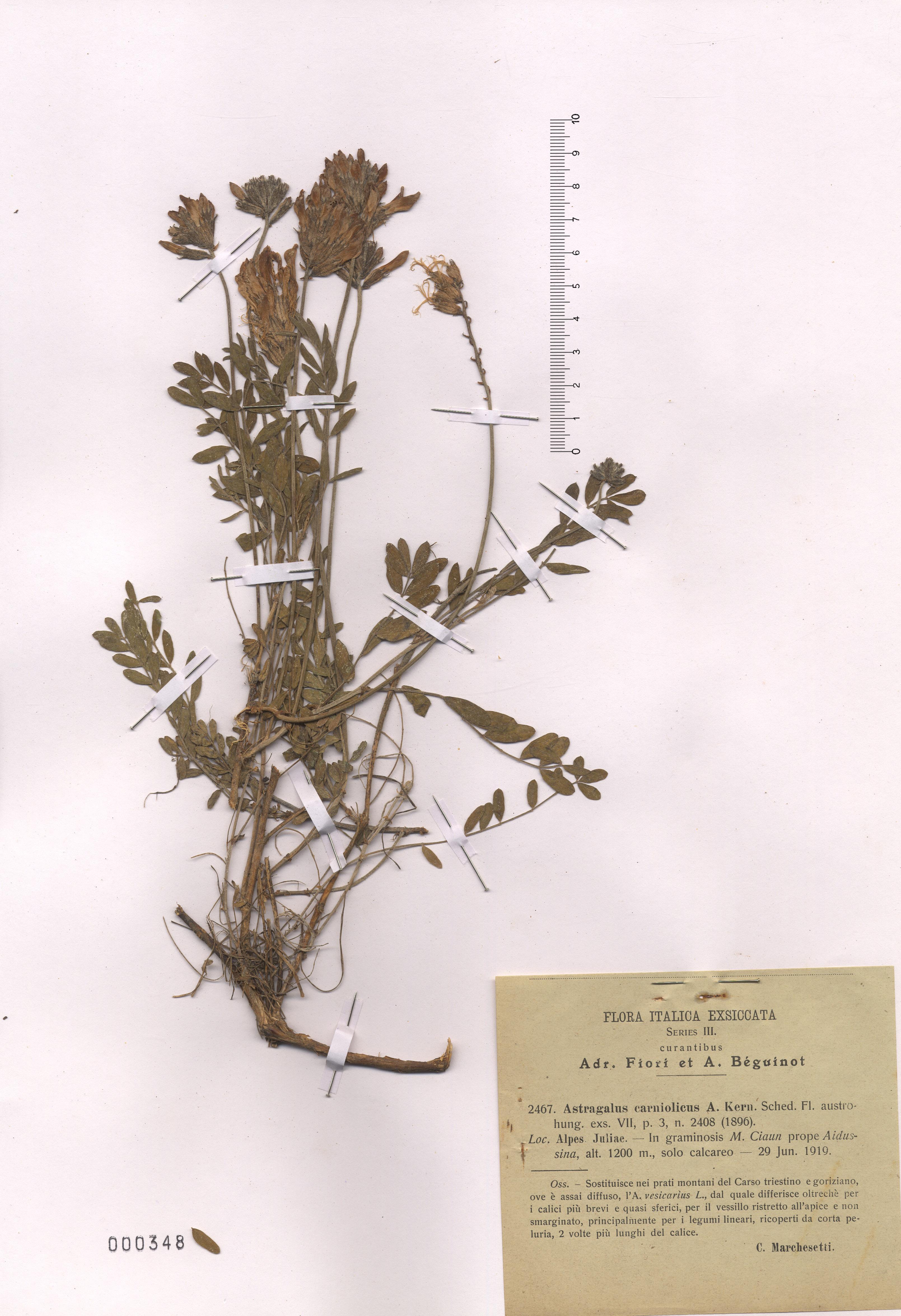 © Hortus Botanicus Catinensis - Herb. sheet  000348<br>