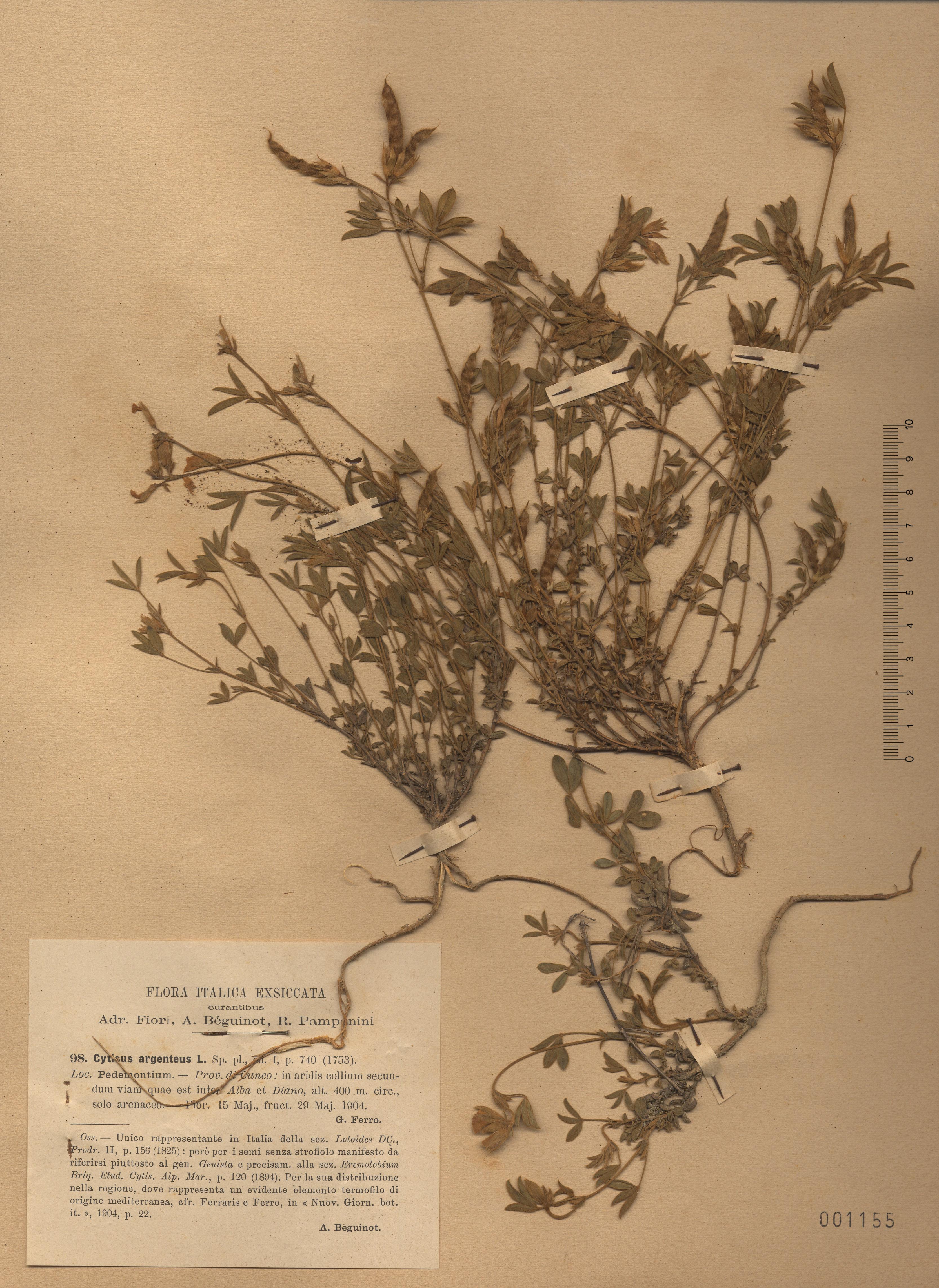 © Hortus Botanicus Catinensis - Herb. sheet  001155<br>