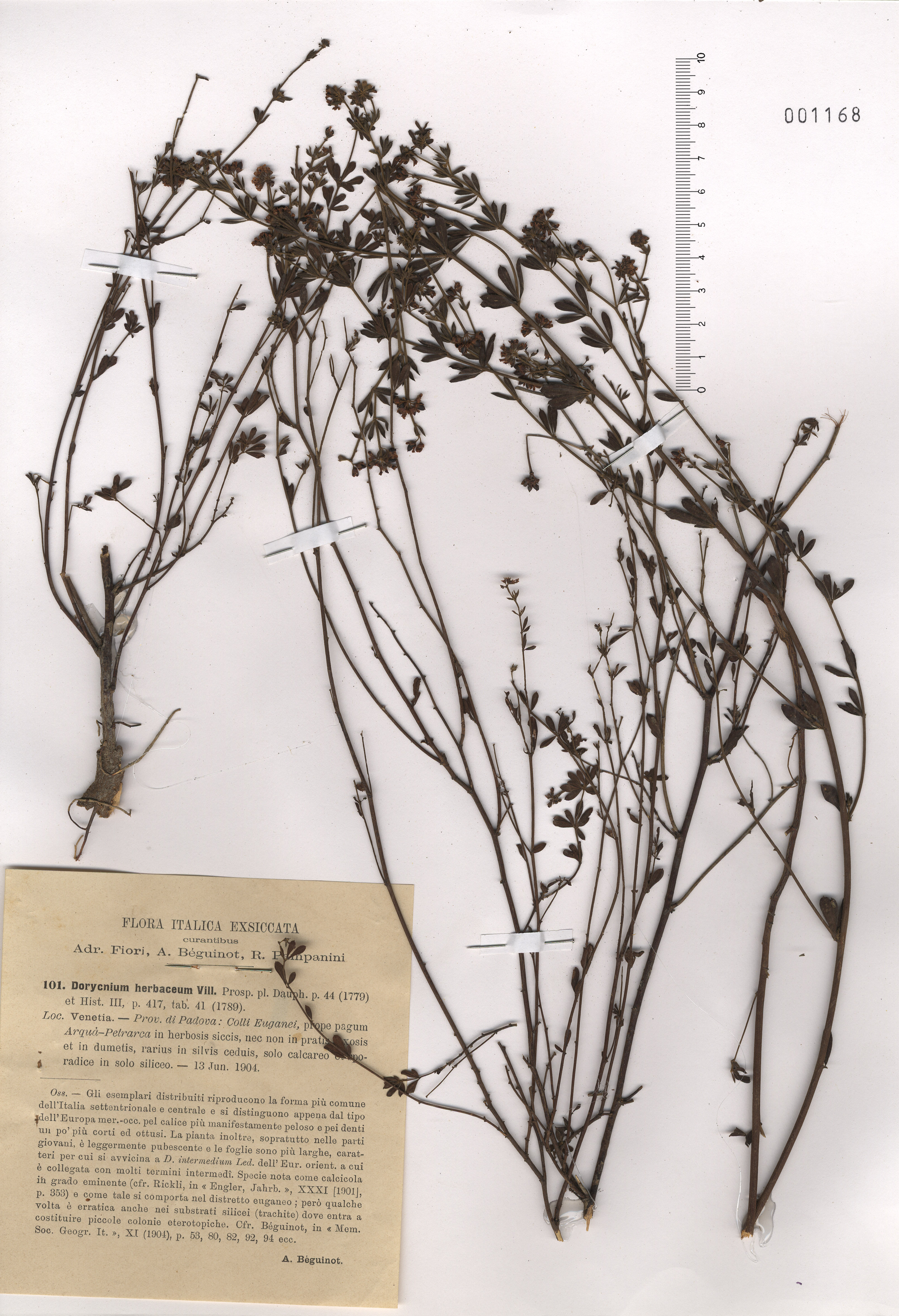 © Hortus Botanicus Catinensis - Herb. sheet  001168<br>