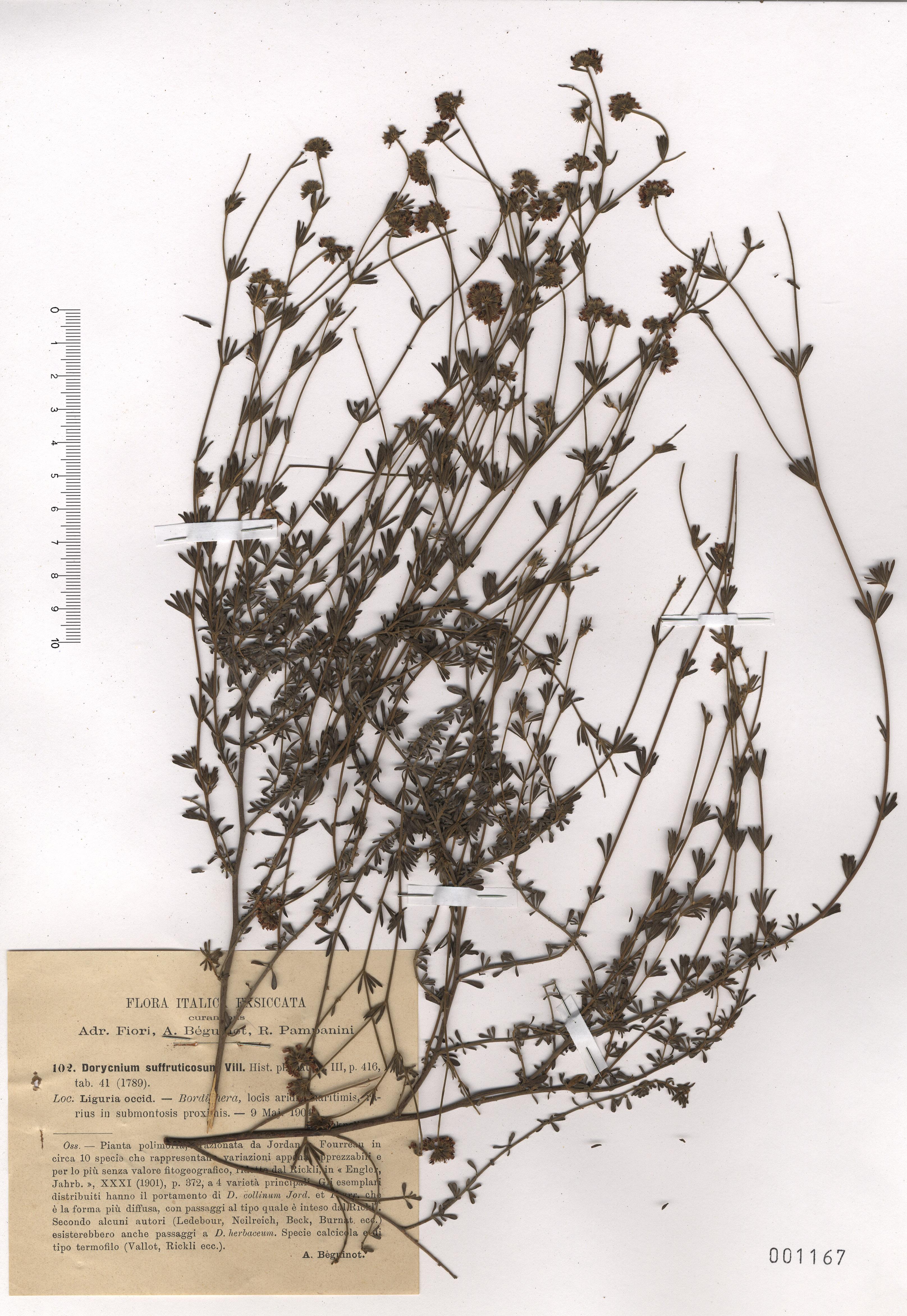 &copy; Hortus Botanicus Catinensis - Herb. sheet  001167<br>
