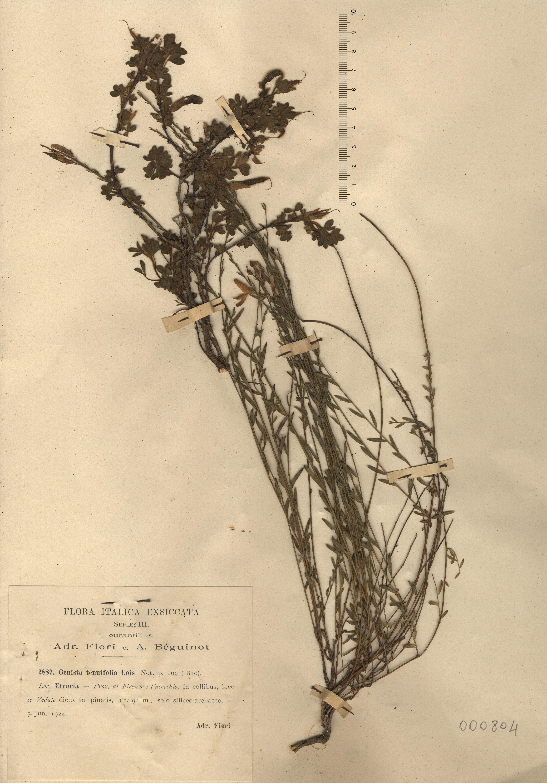 © Hortus Botanicus Catinensis - Herb. sheet  000804<br>