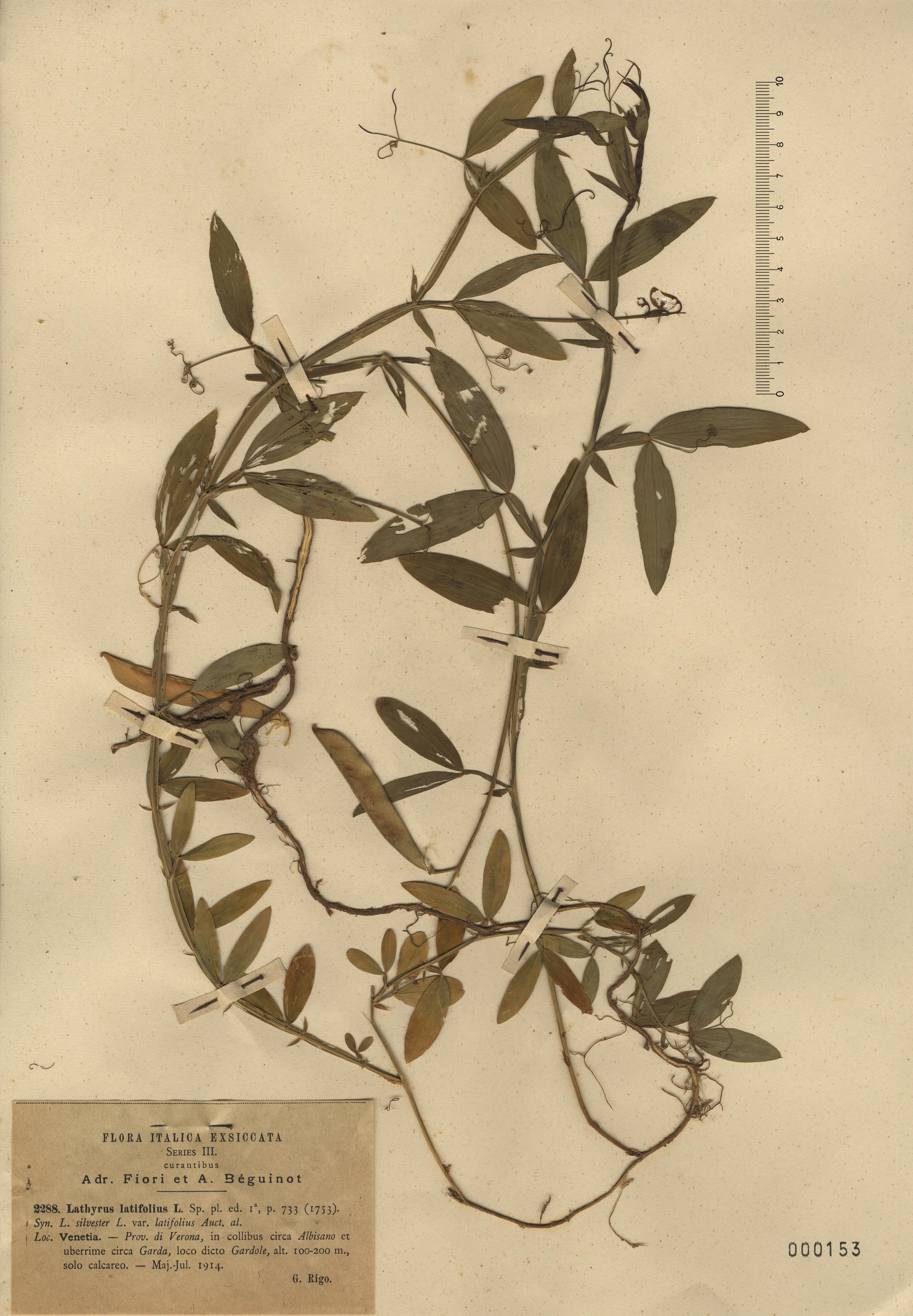 © Hortus Botanicus Catinensis - Herb. sheet  000153<br>