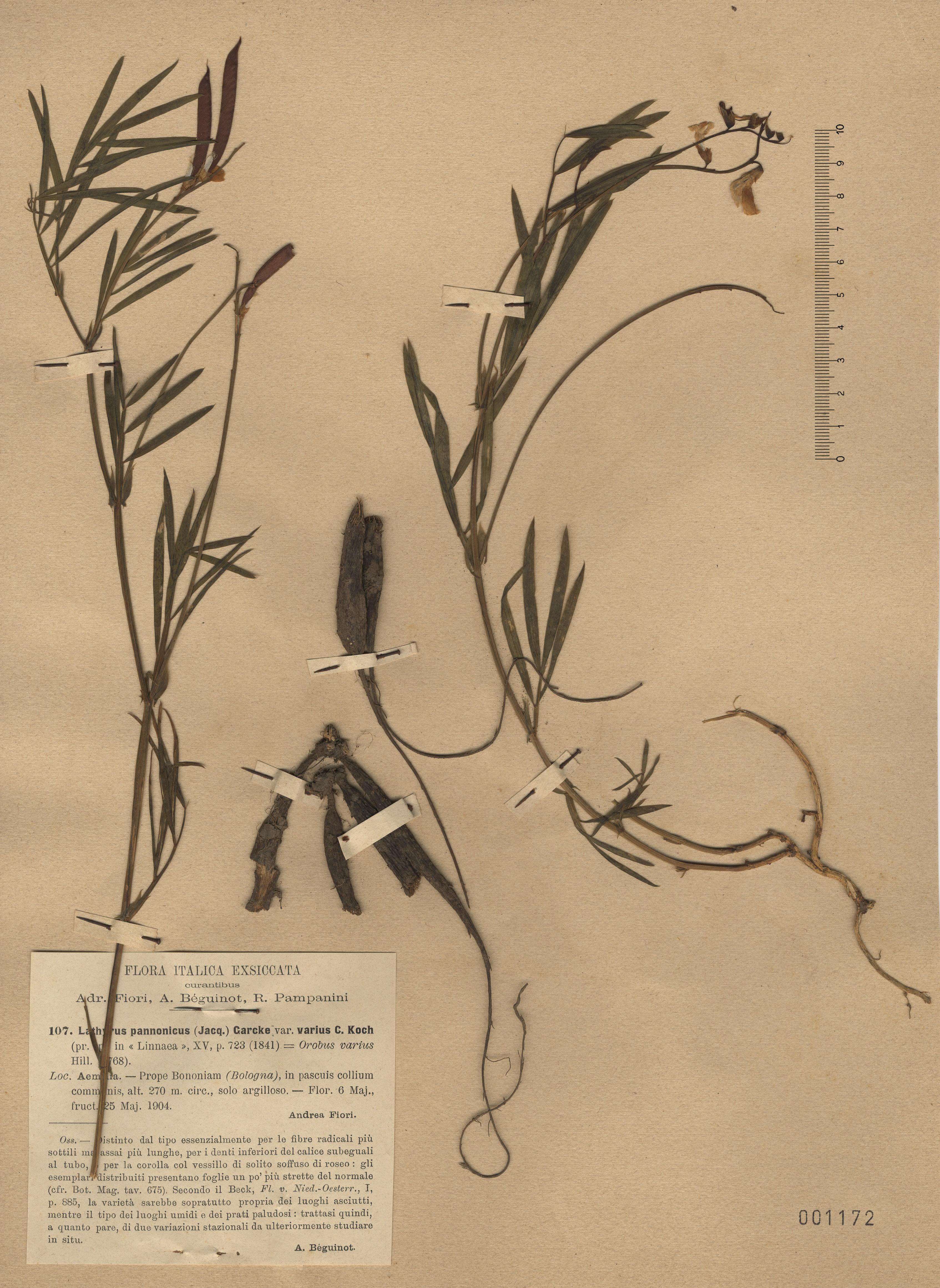 © Hortus Botanicus Catinensis - Herb. sheet  001172<br>