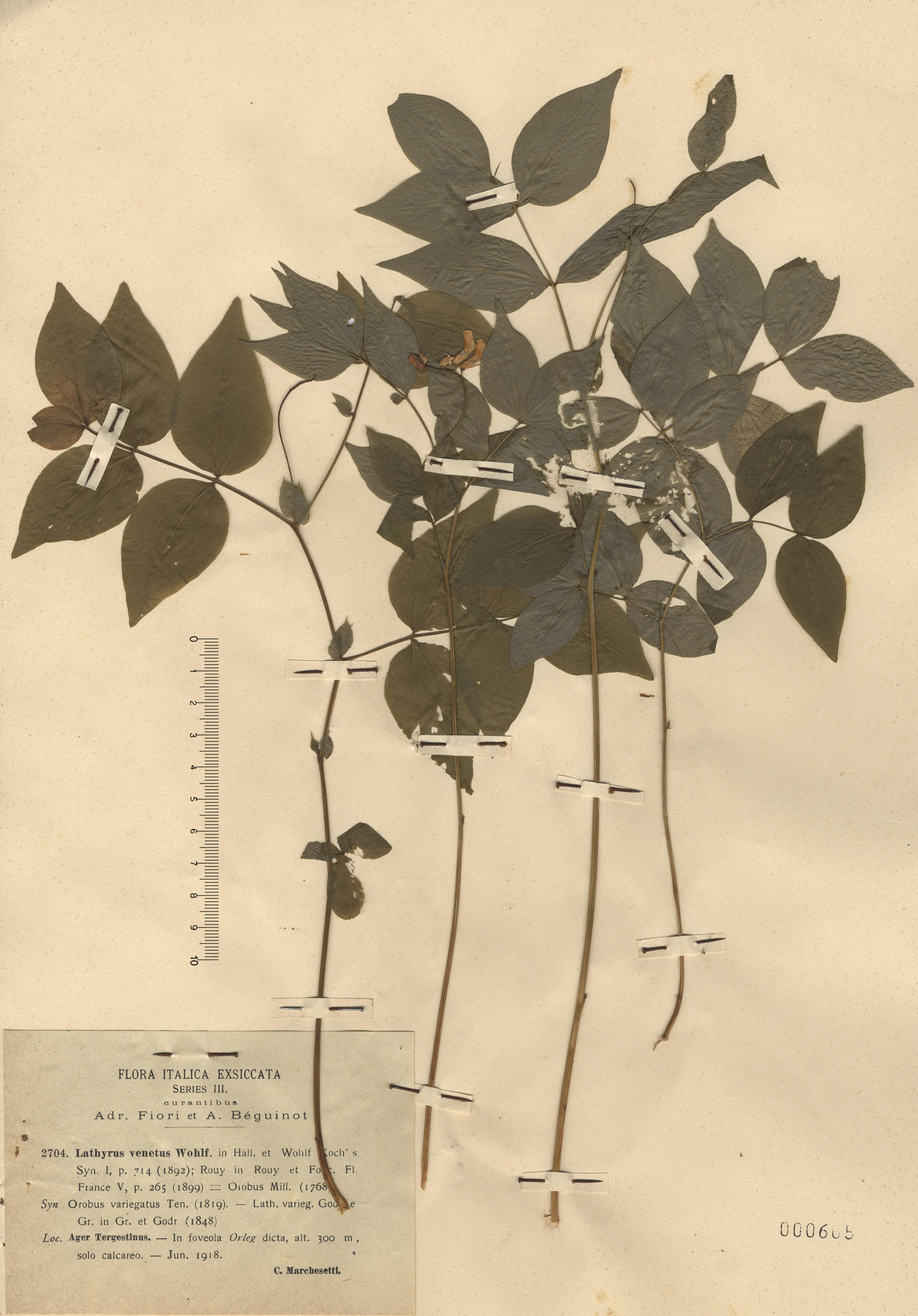 © Hortus Botanicus Catinensis - Herb. sheet  000605<br>