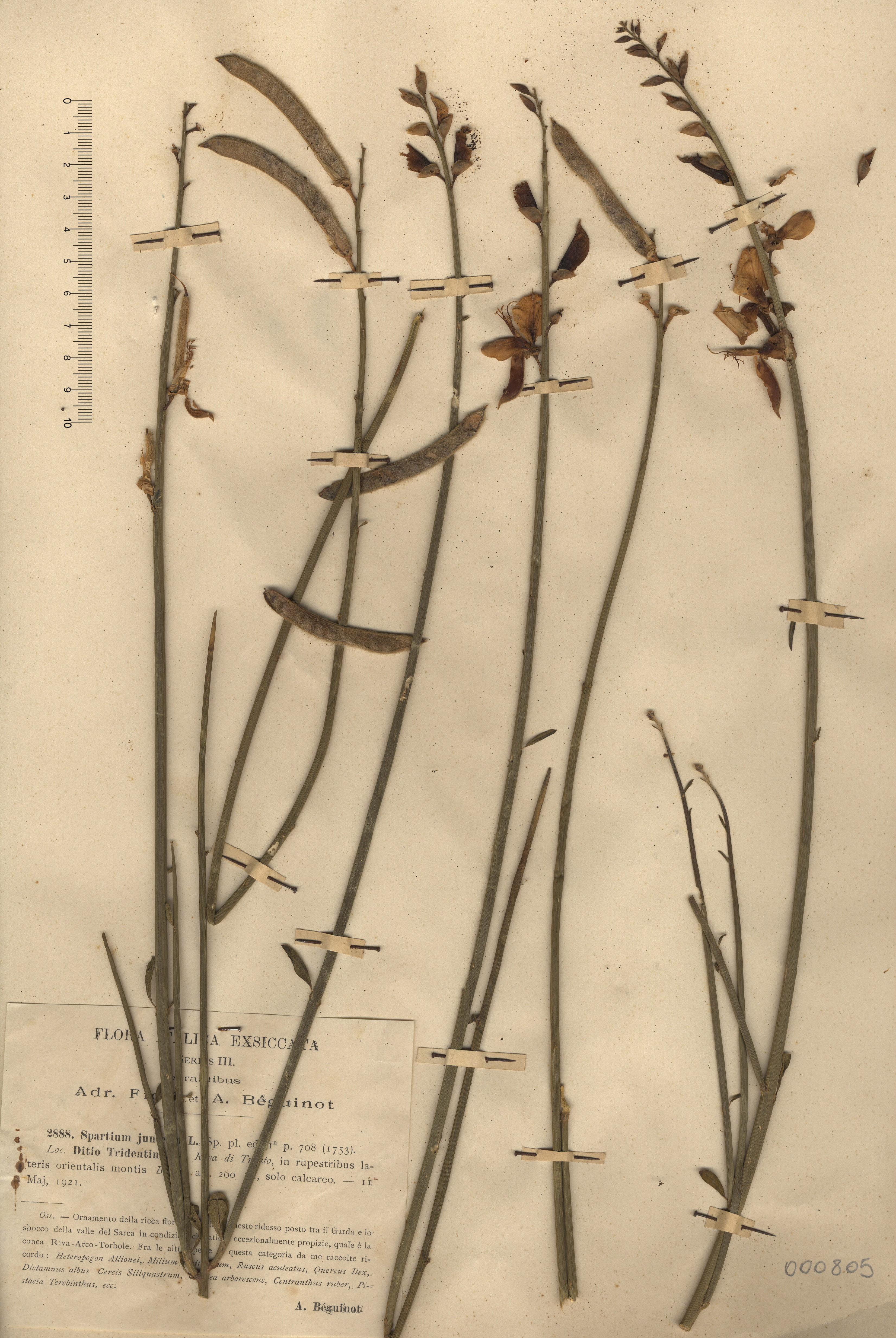 © Hortus Botanicus Catinensis - Herb. sheet  000805<br>
