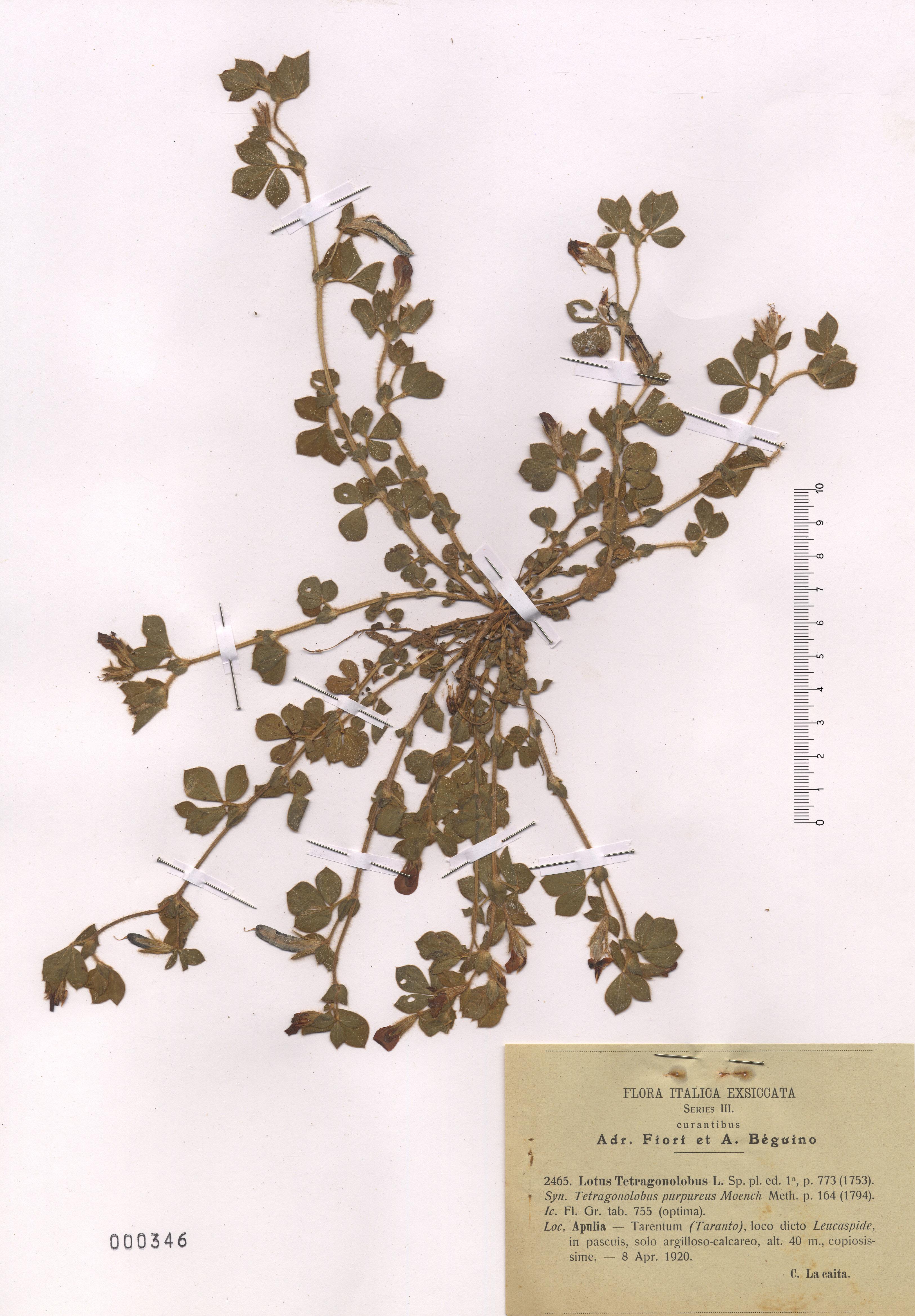 © Hortus Botanicus Catinensis - Herb. sheet  000346<br>