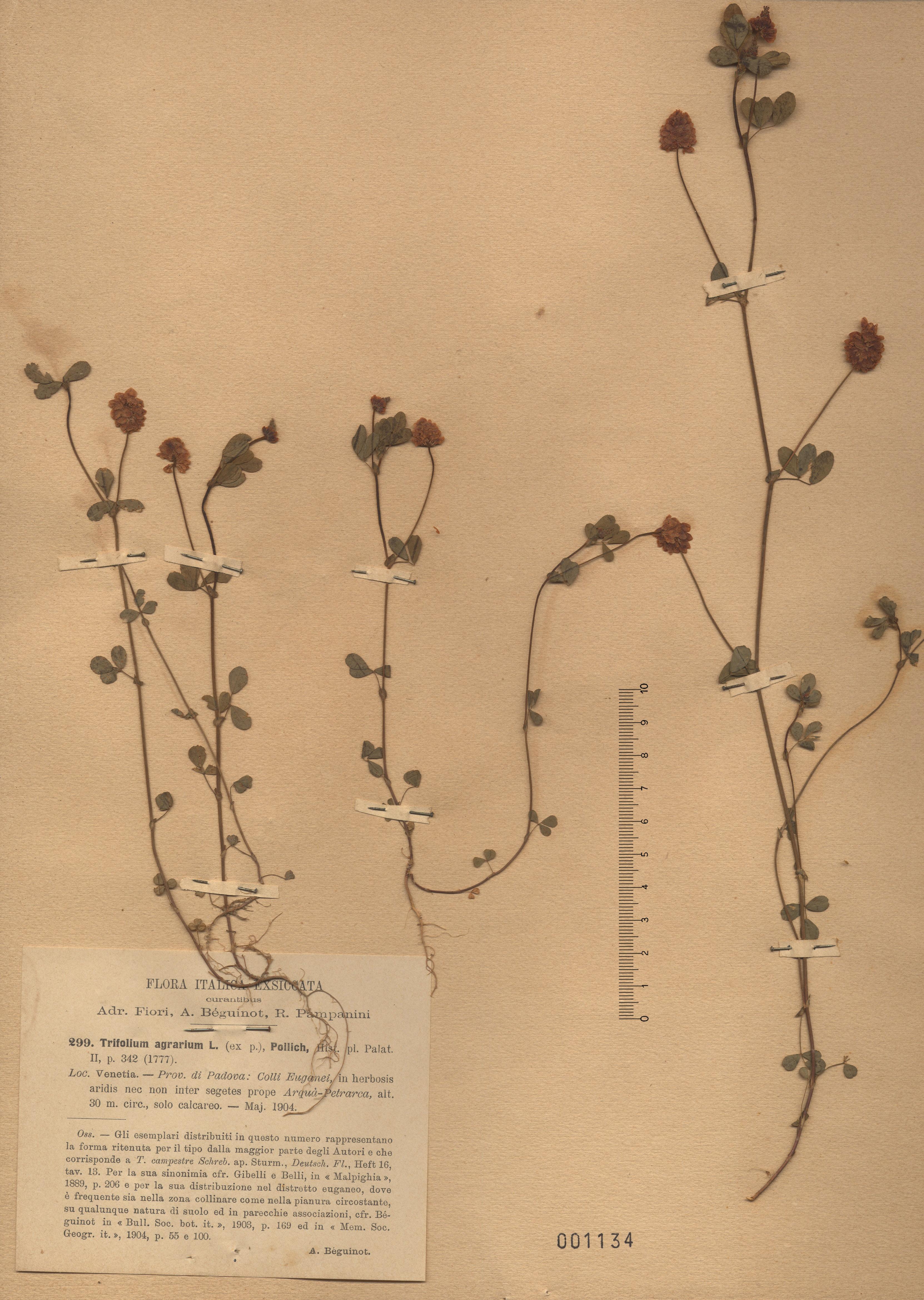 © Hortus Botanicus Catinensis - Herb. sheet  001134<br>