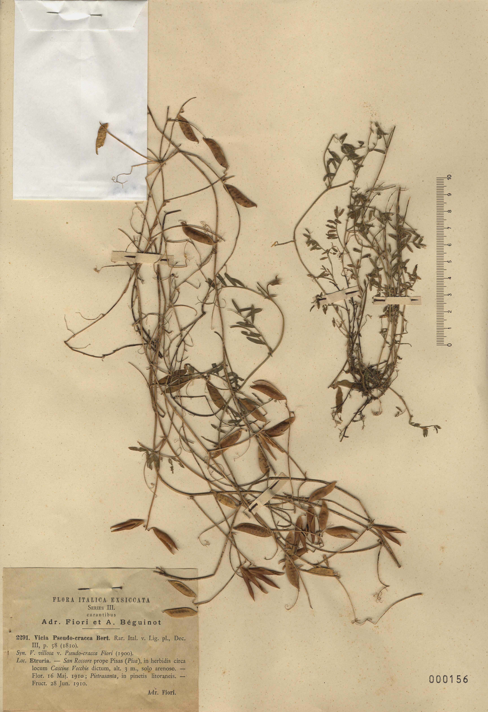 © Hortus Botanicus Catinensis - Herb. sheet  000156<br>