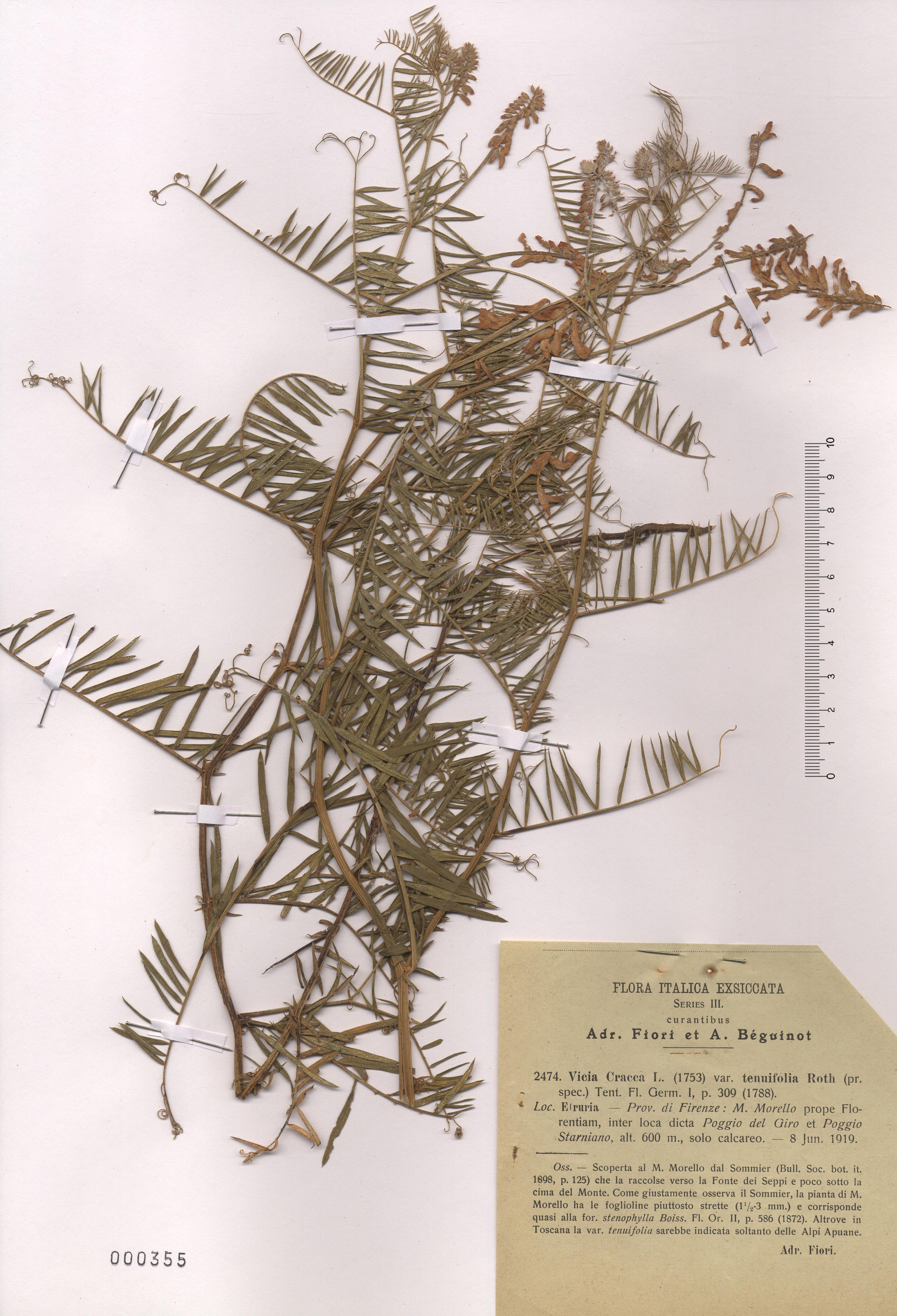 © Hortus Botanicus Catinensis - Herb. sheet  000355<br>