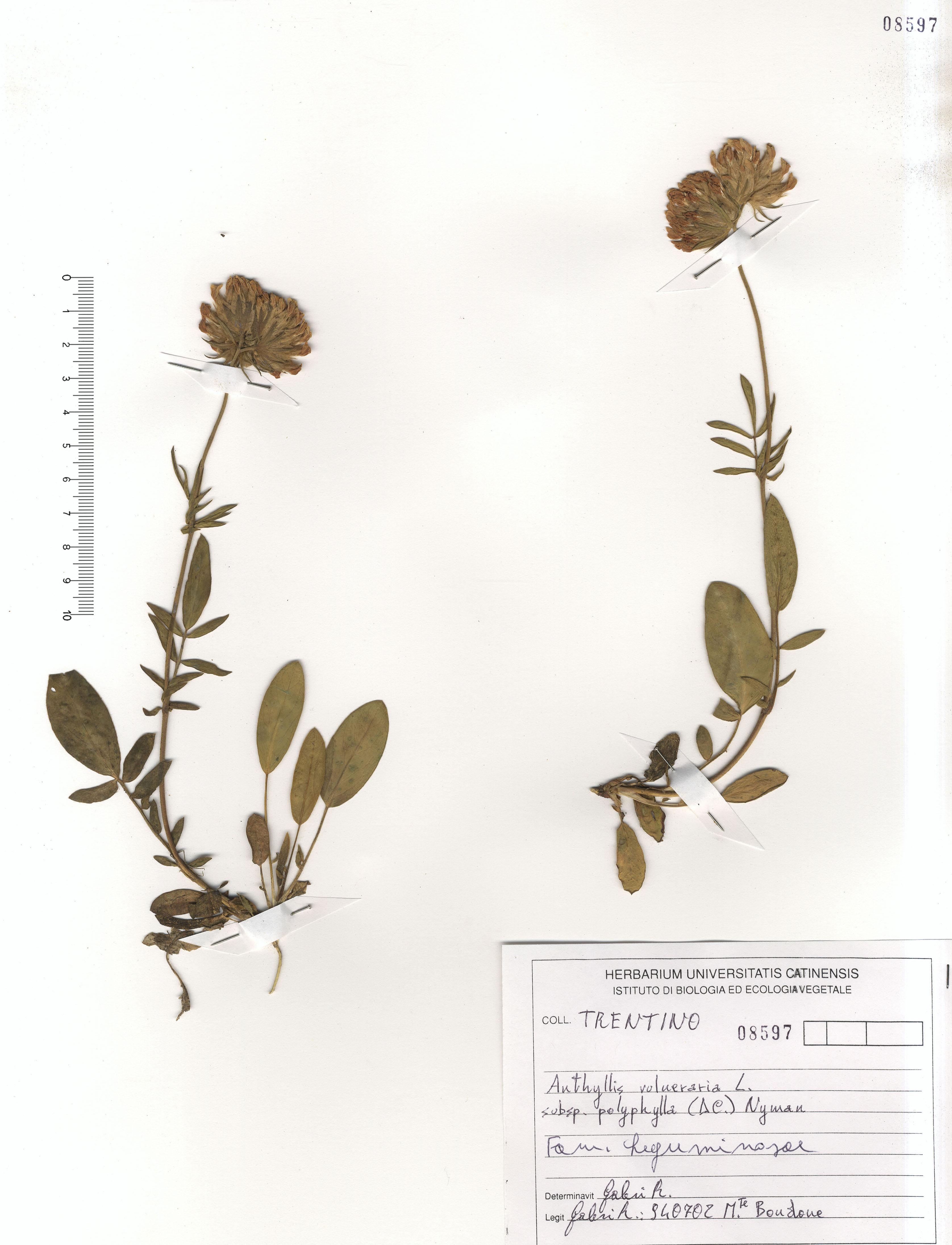 © Hortus Botanicus Catinensis - Herb. sheet 008597<br>