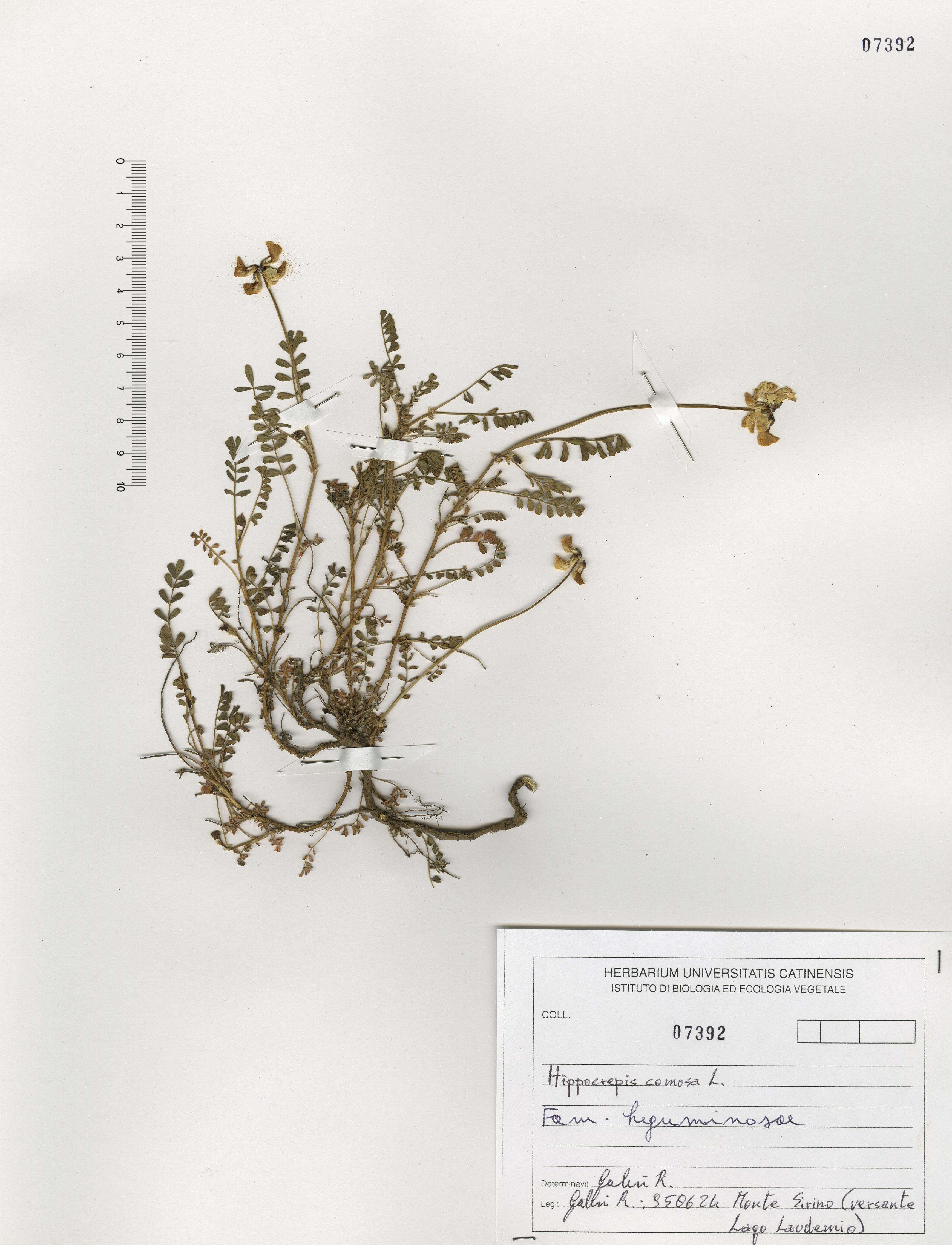 © Hortus Botanicus Catinensis - Herb. sheet 107392<br>