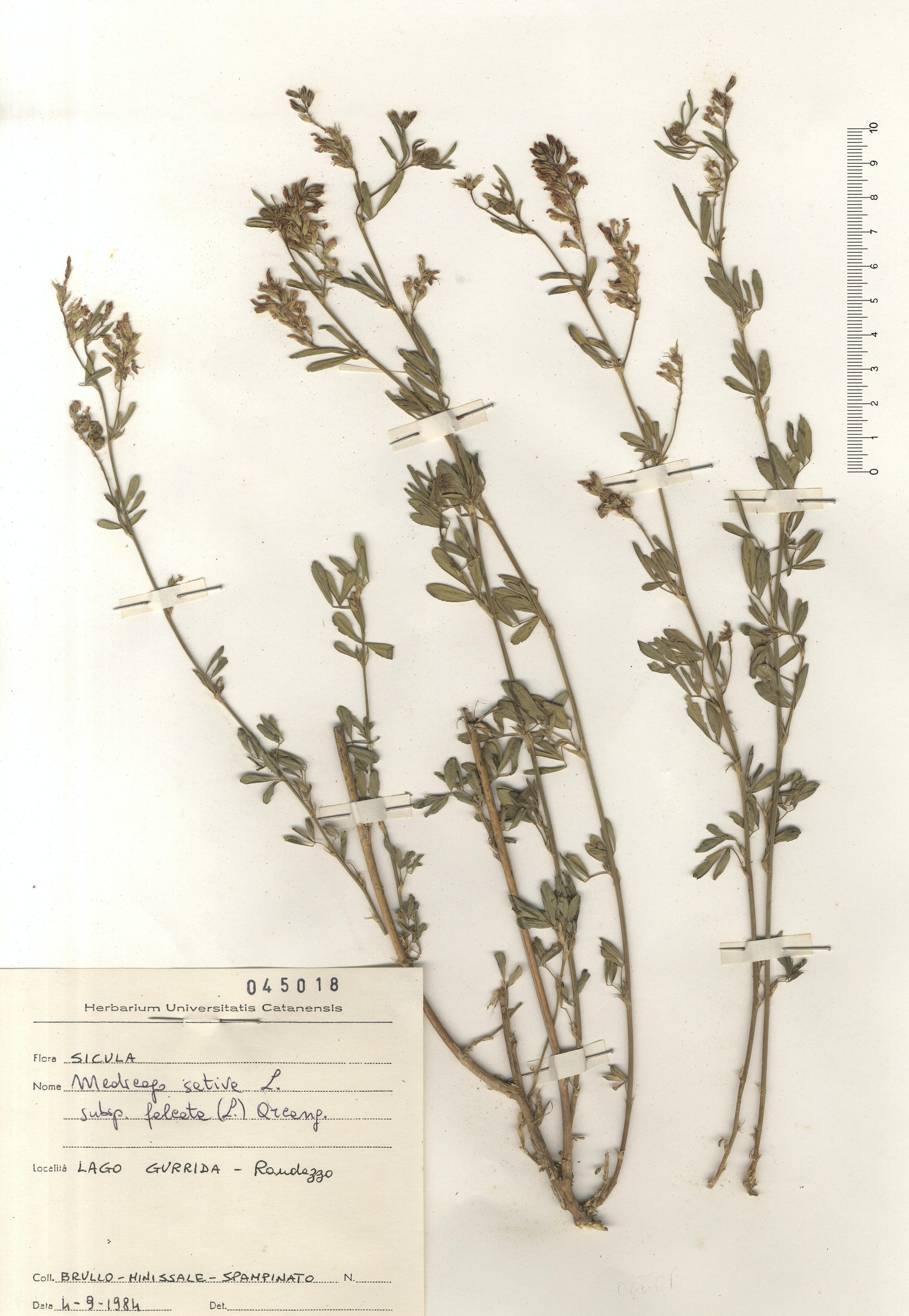 © Hortus Botanicus Catinensis - Herb. sheet 045018<br>