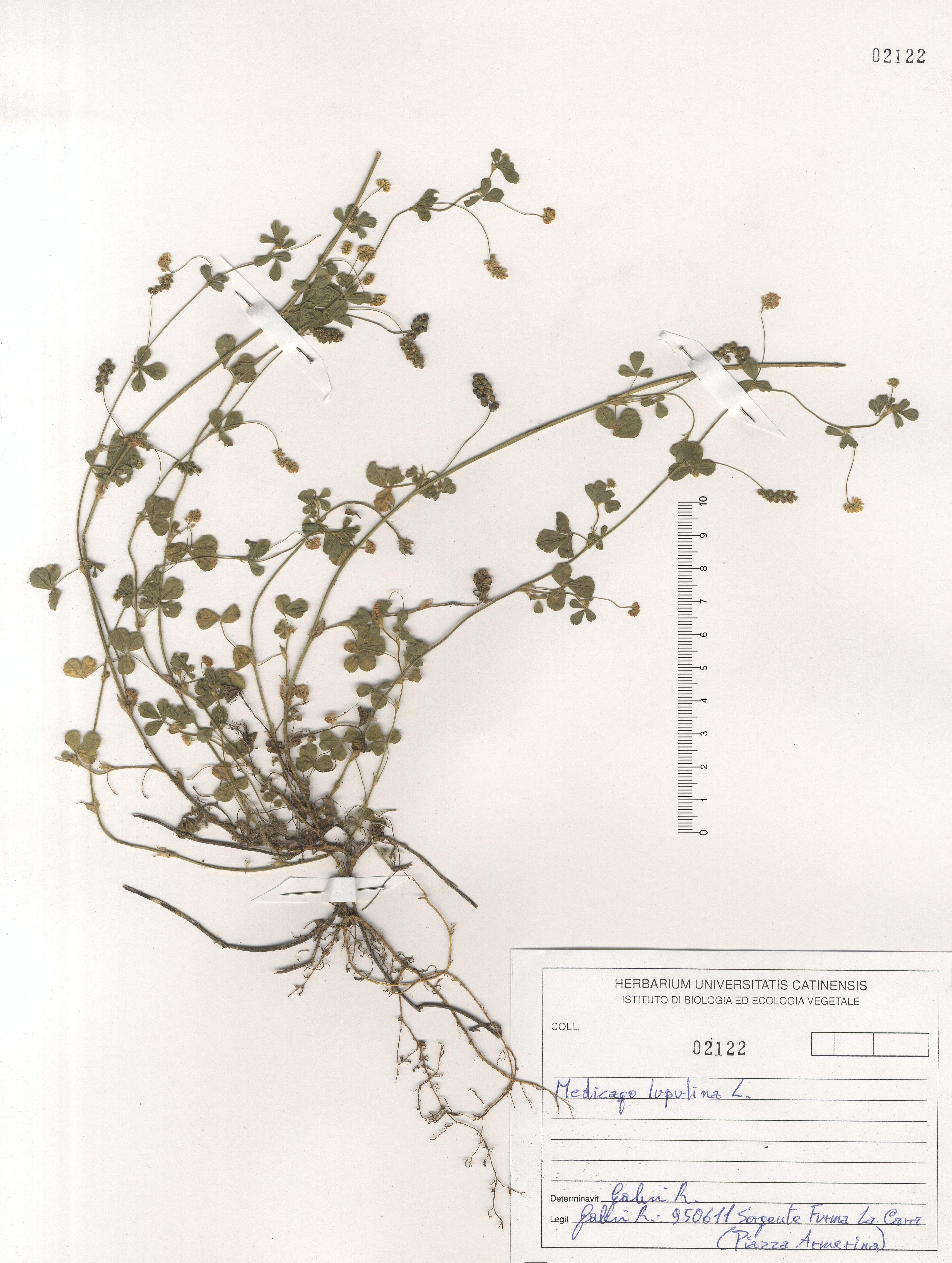 © Hortus Botanicus Catinensis - Herb. sheet 102122<br>