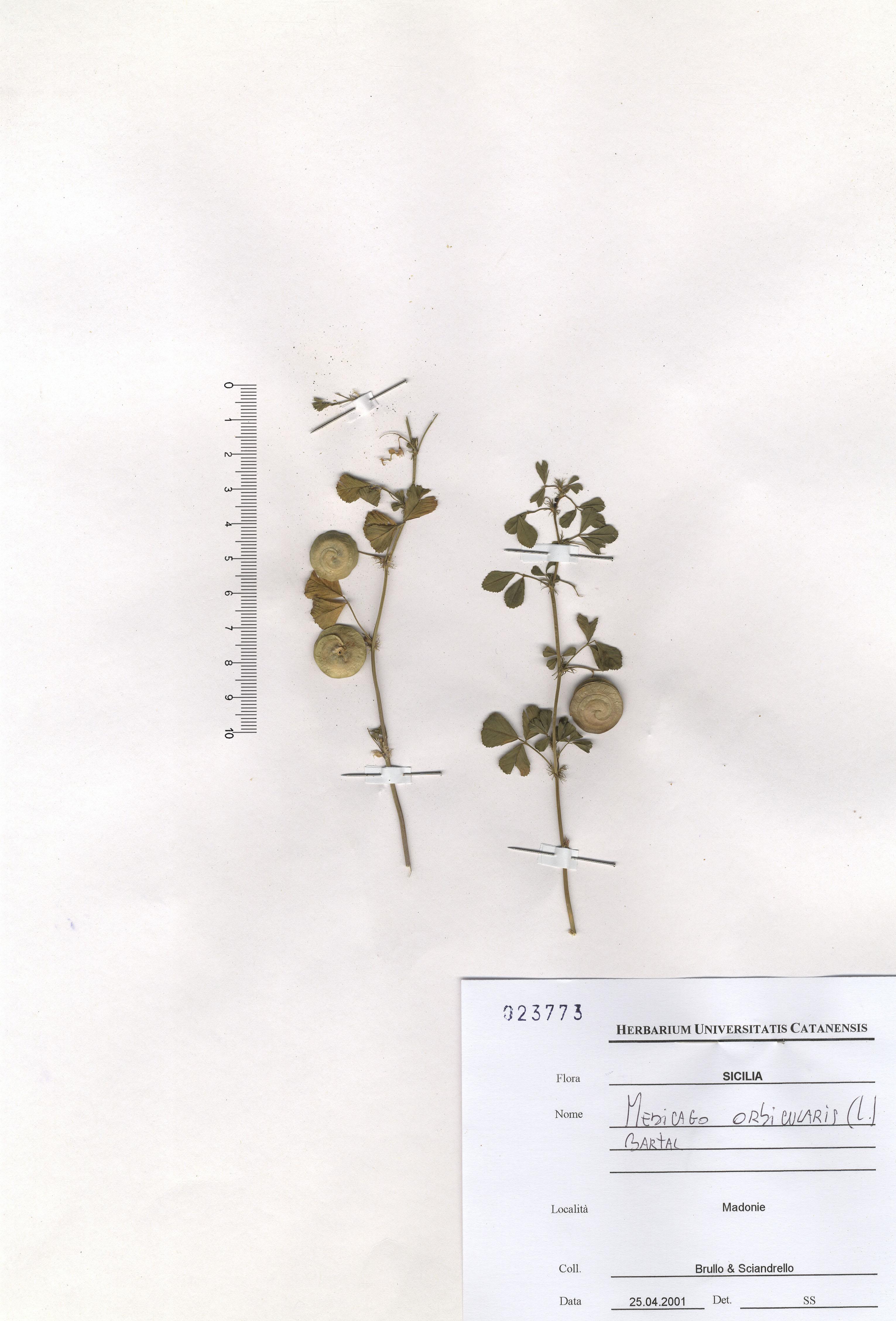 © Hortus Botanicus Catinensis - Herb. sheet 023773<br>