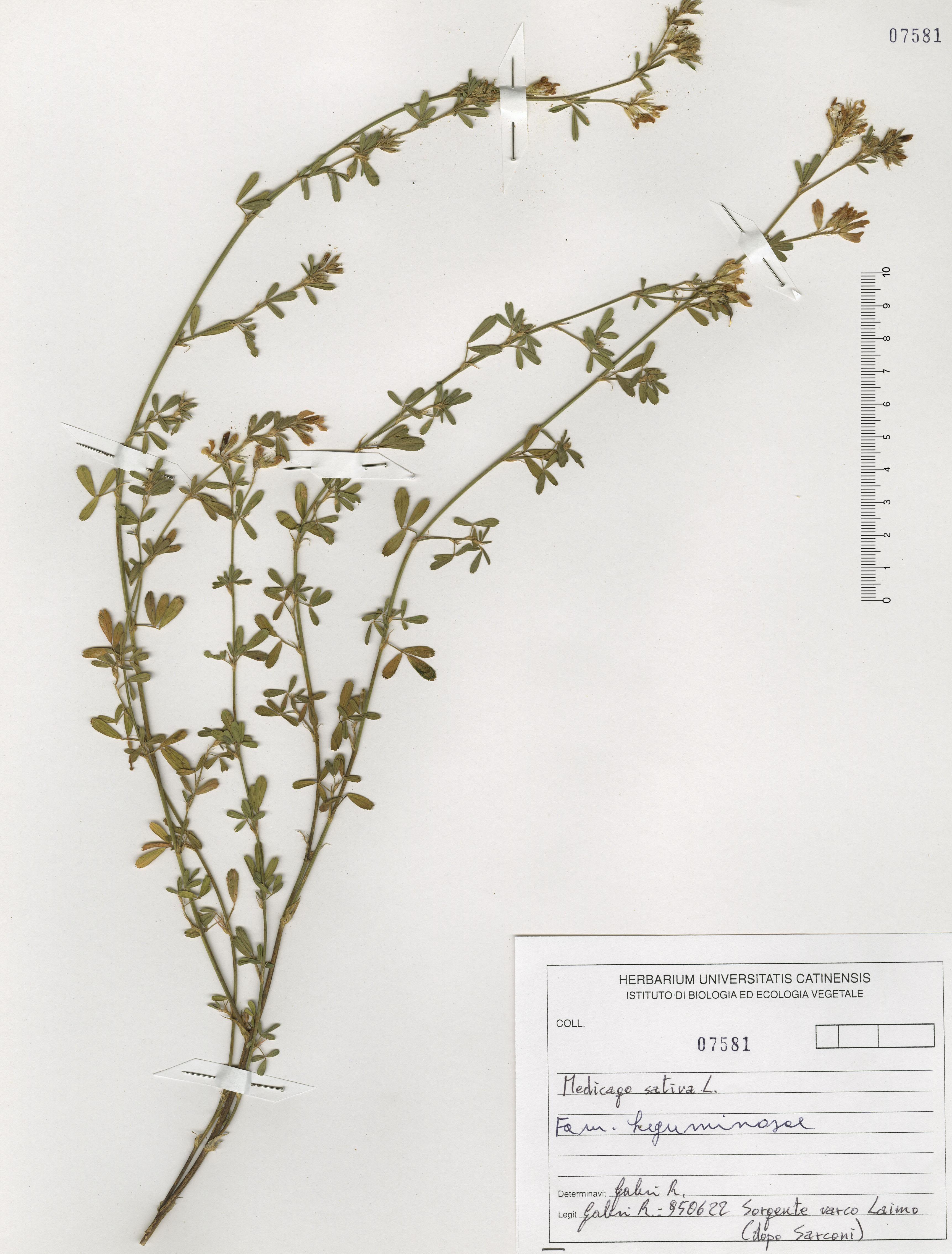 © Hortus Botanicus Catinensis - Herb. sheet 107581<br>