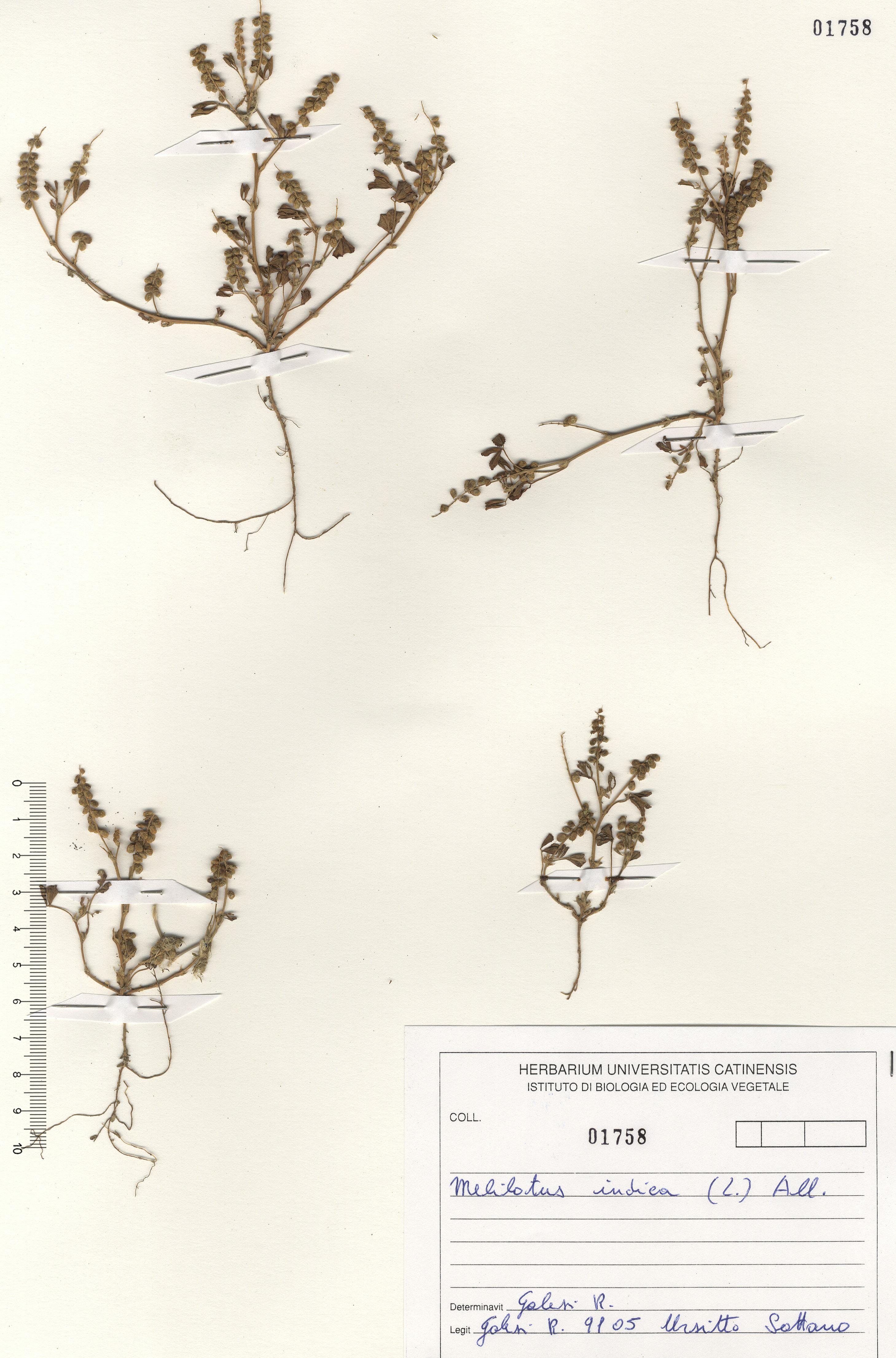 © Hortus Botanicus Catinensis - Herb. sheet 101758<br>