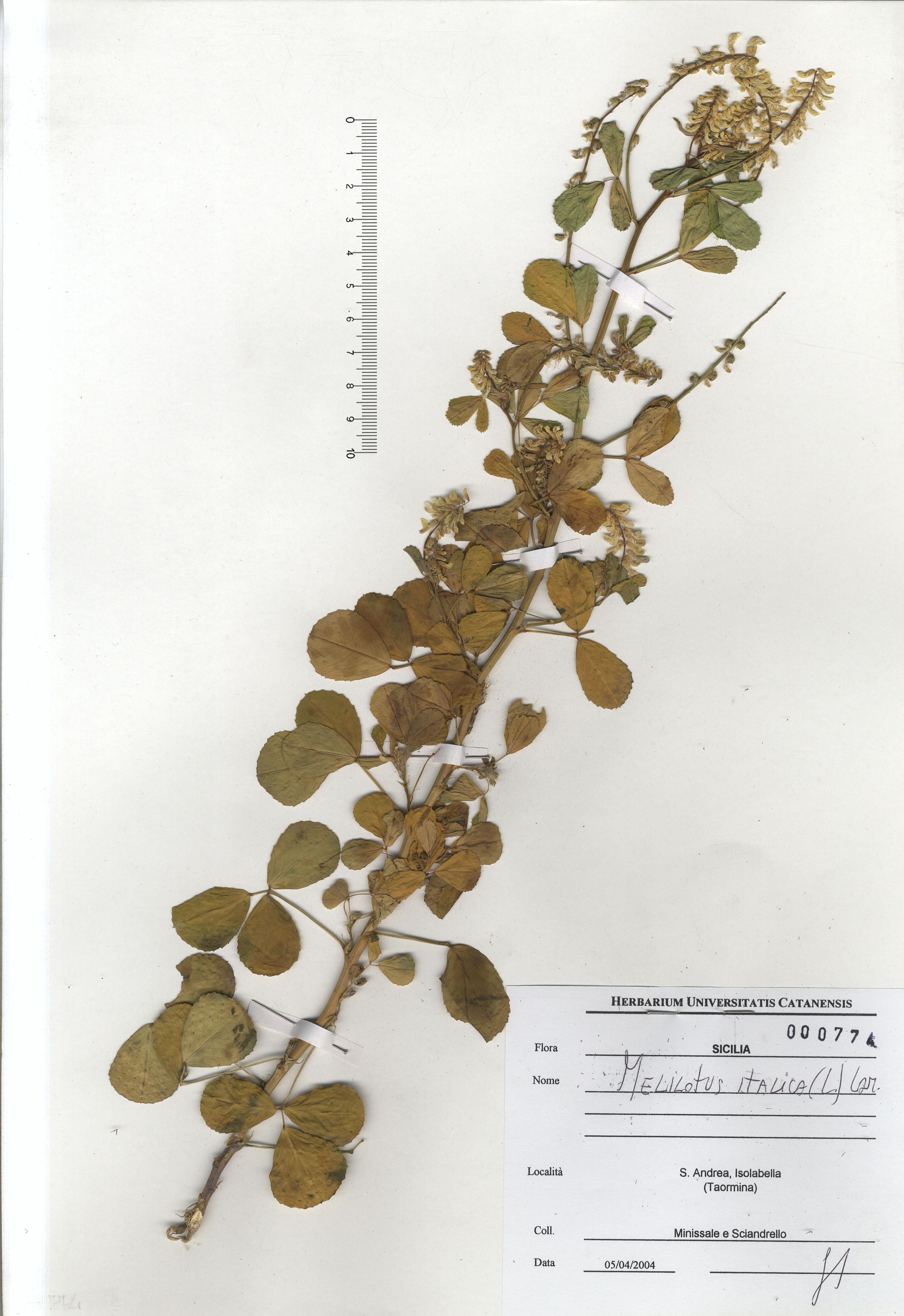 © Hortus Botanicus Catinensis - Herb. sheet 000774<br>