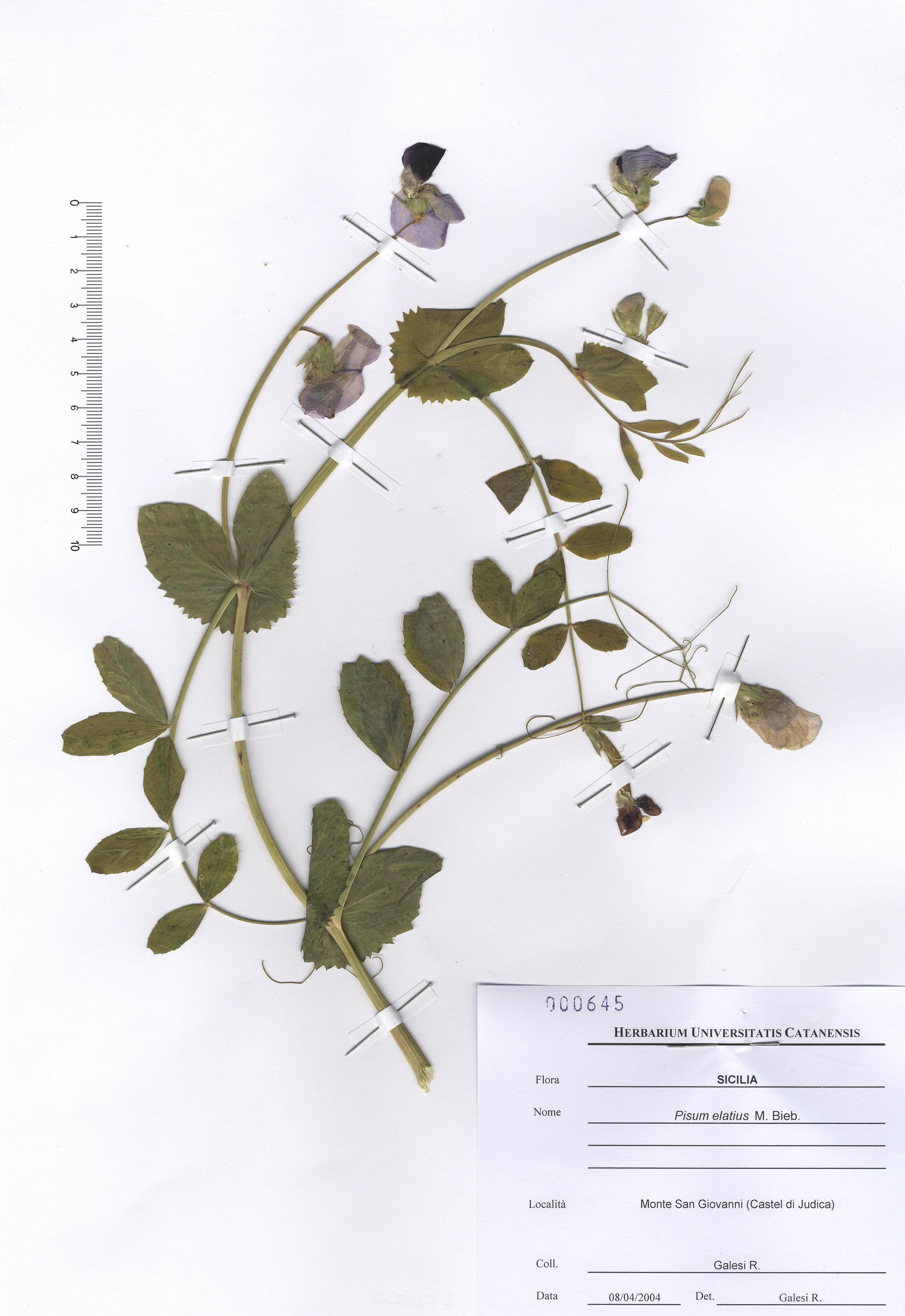 © Hortus Botanicus Catinensis - Herb. sheet 000645<br>