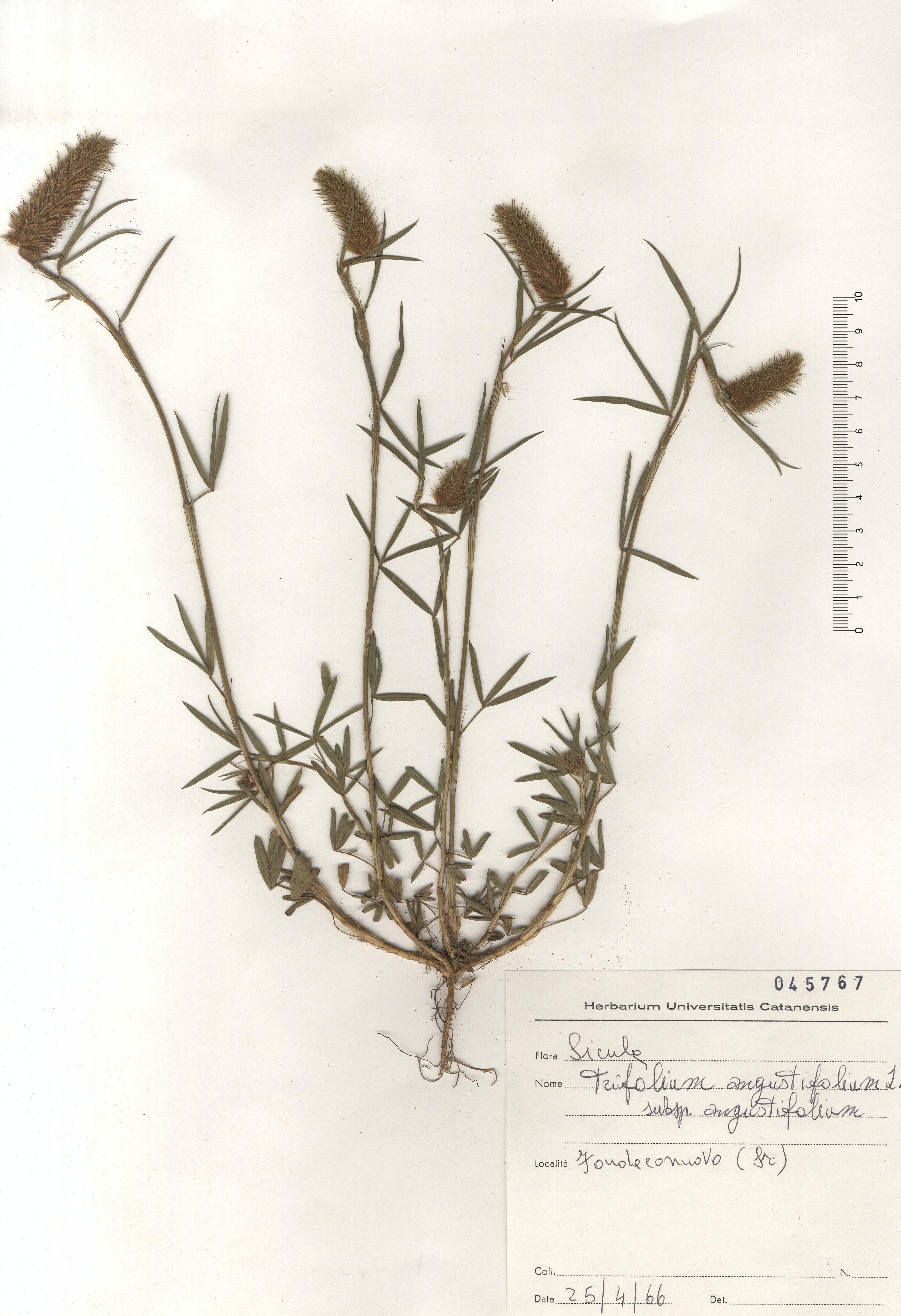 © Hortus Botanicus Catinensis - Herb. sheet 045767<br>
