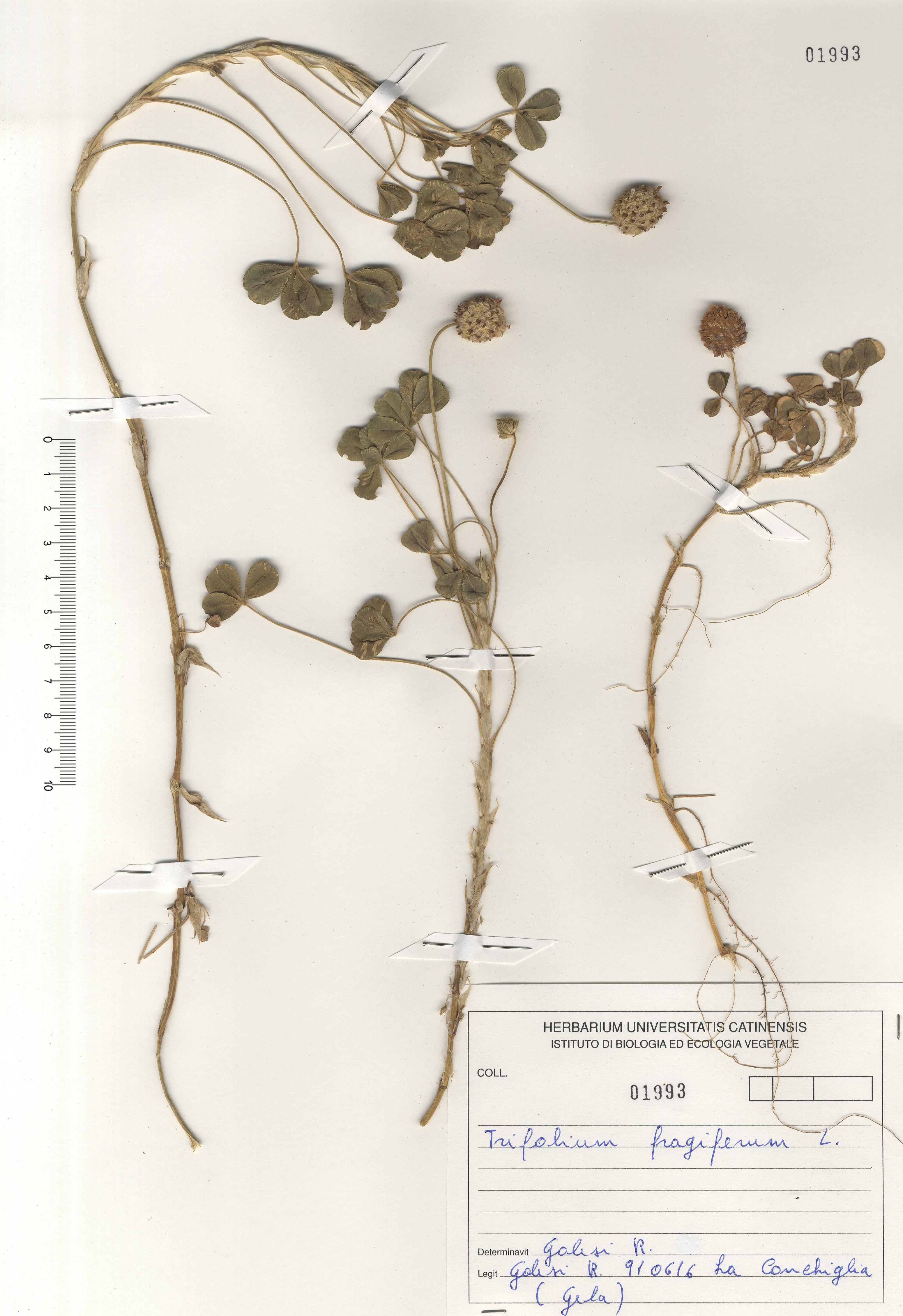 © Hortus Botanicus Catinensis - Herb. sheet 101993<br>
