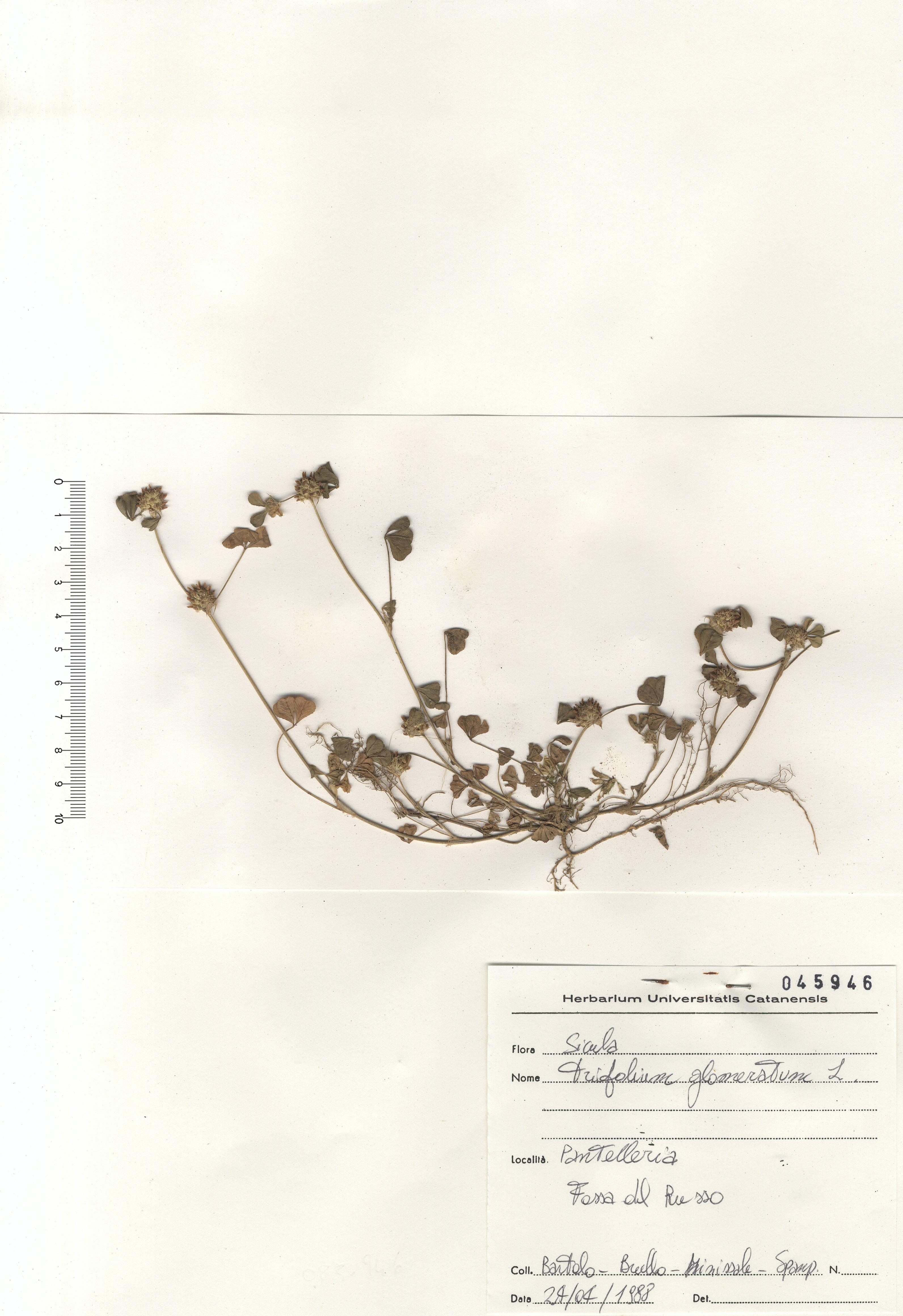 © Hortus Botanicus Catinensis - Herb. sheet 045946<br>