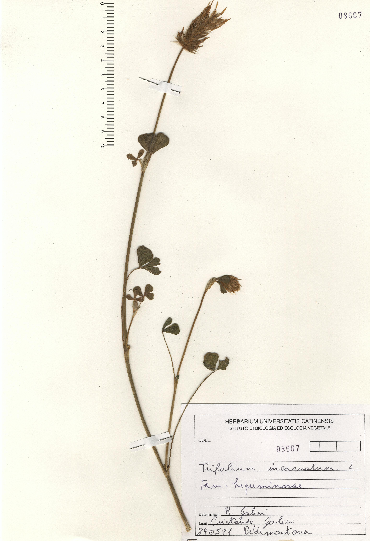 © Hortus Botanicus Catinensis - Herb. sheet 108667<br>