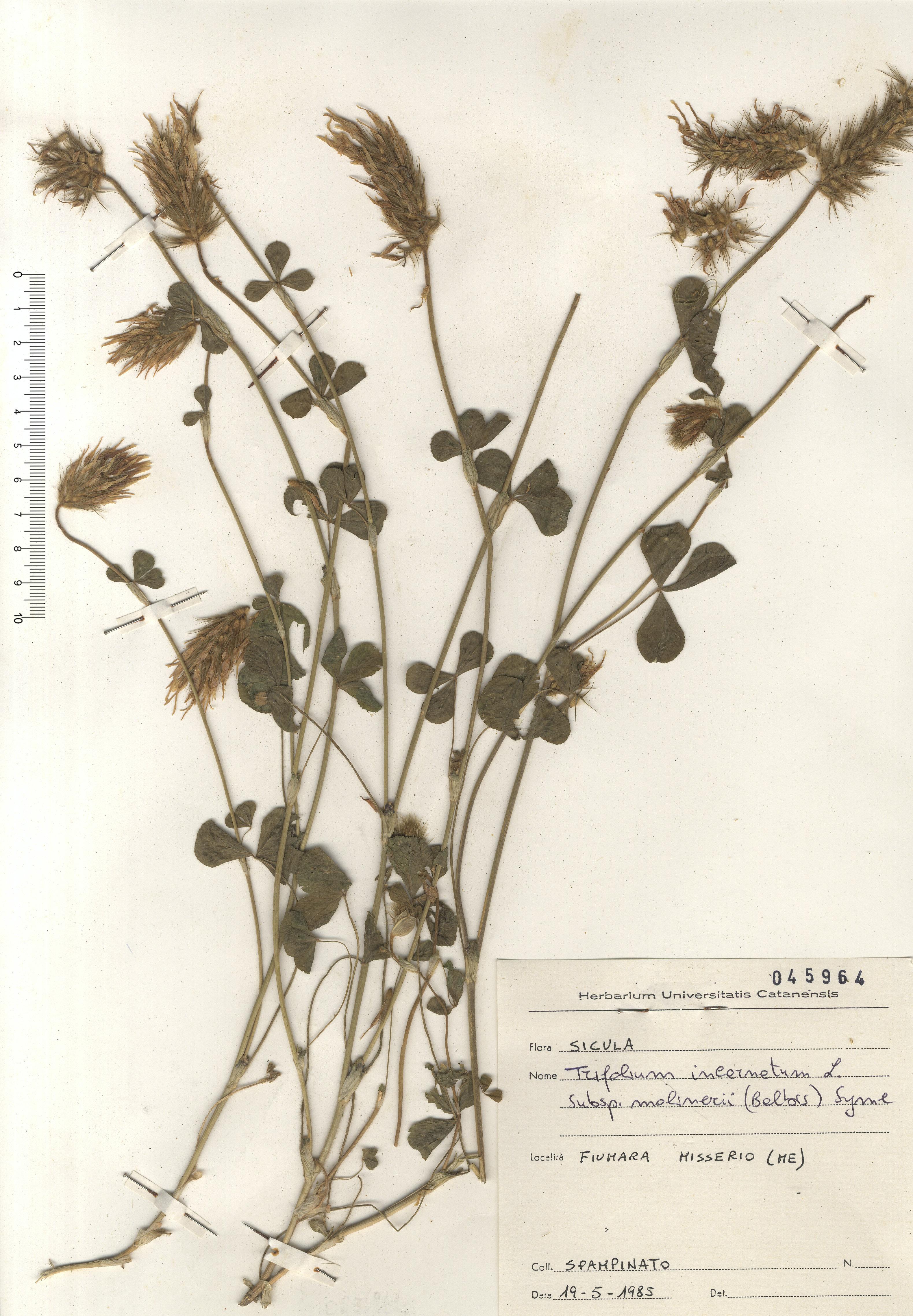 © Hortus Botanicus Catinensis - Herb. sheet 045964<br>