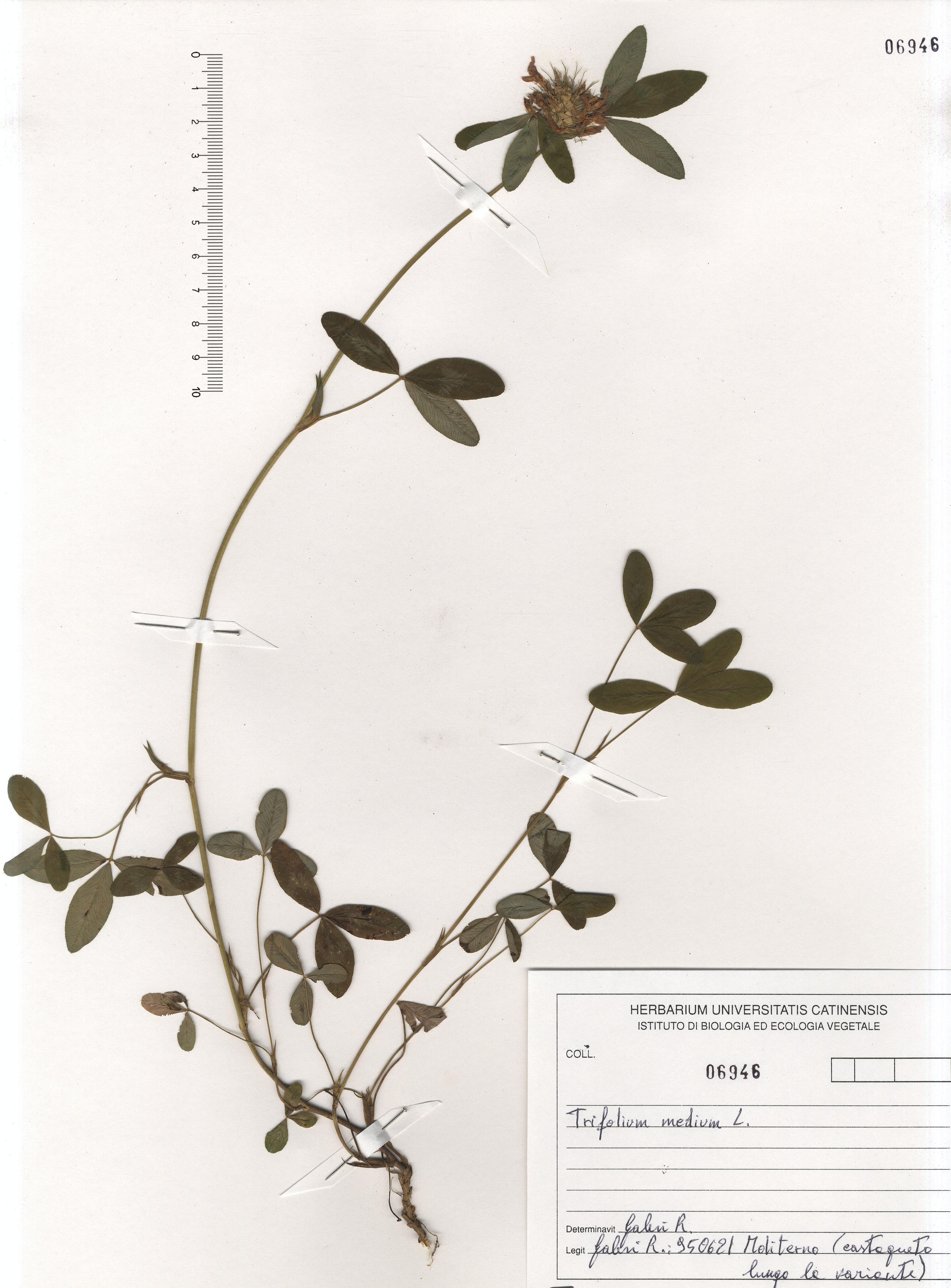 © Hortus Botanicus Catinensis - Herb. sheet 106946<br>
