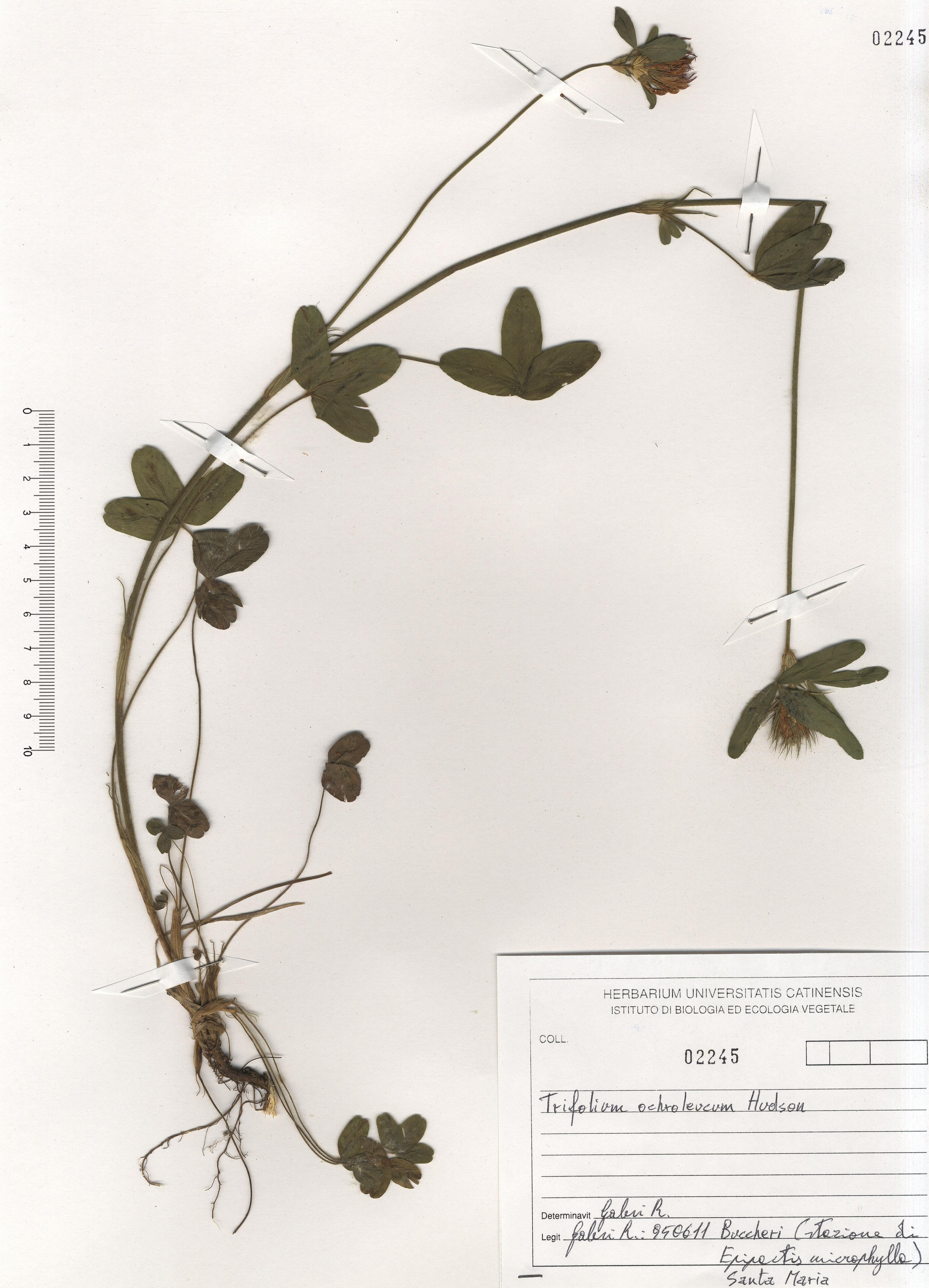 © Hortus Botanicus Catinensis - Herb. sheet 102245<br>