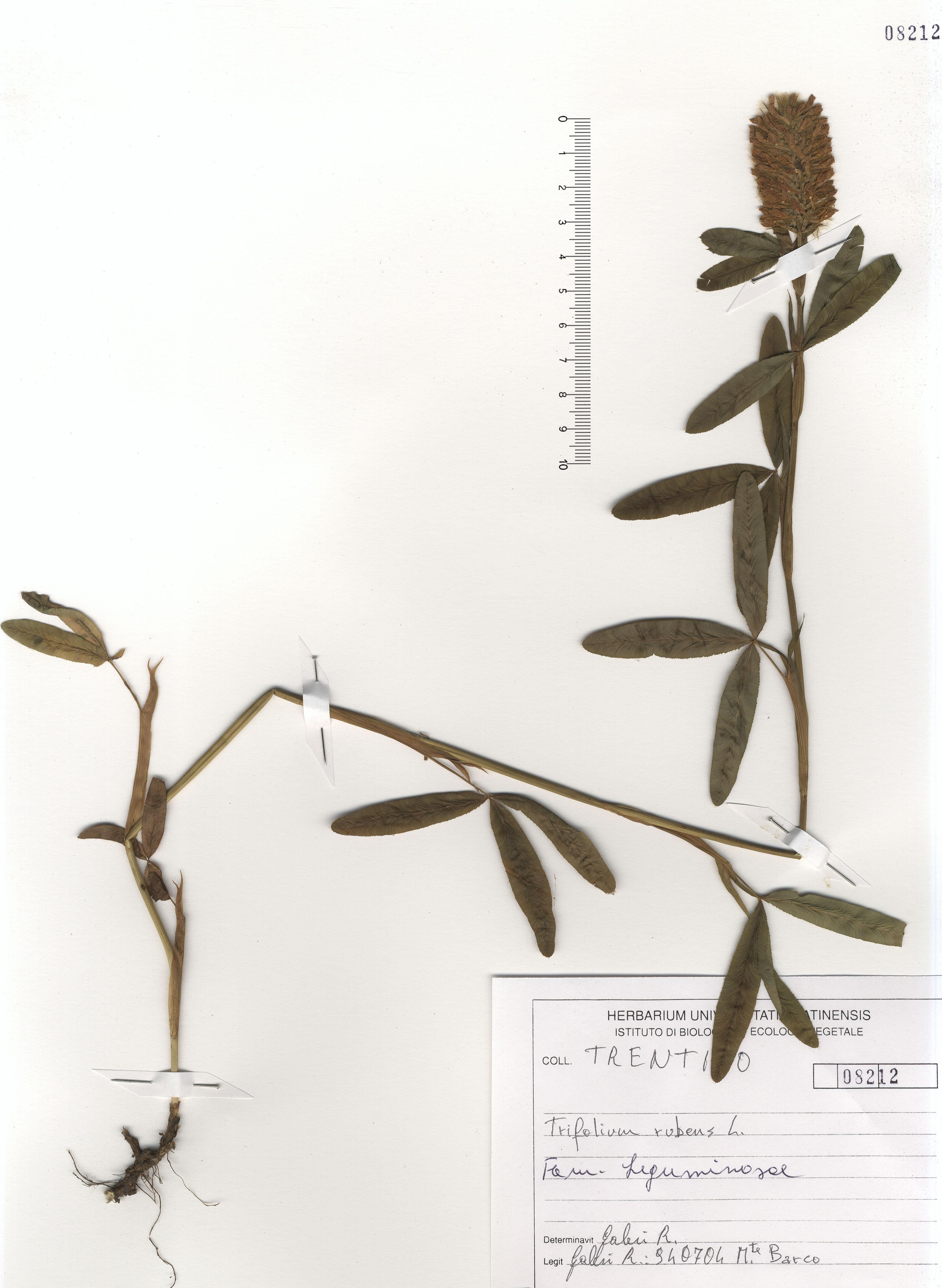 © Hortus Botanicus Catinensis - Herb. sheet 108212<br>