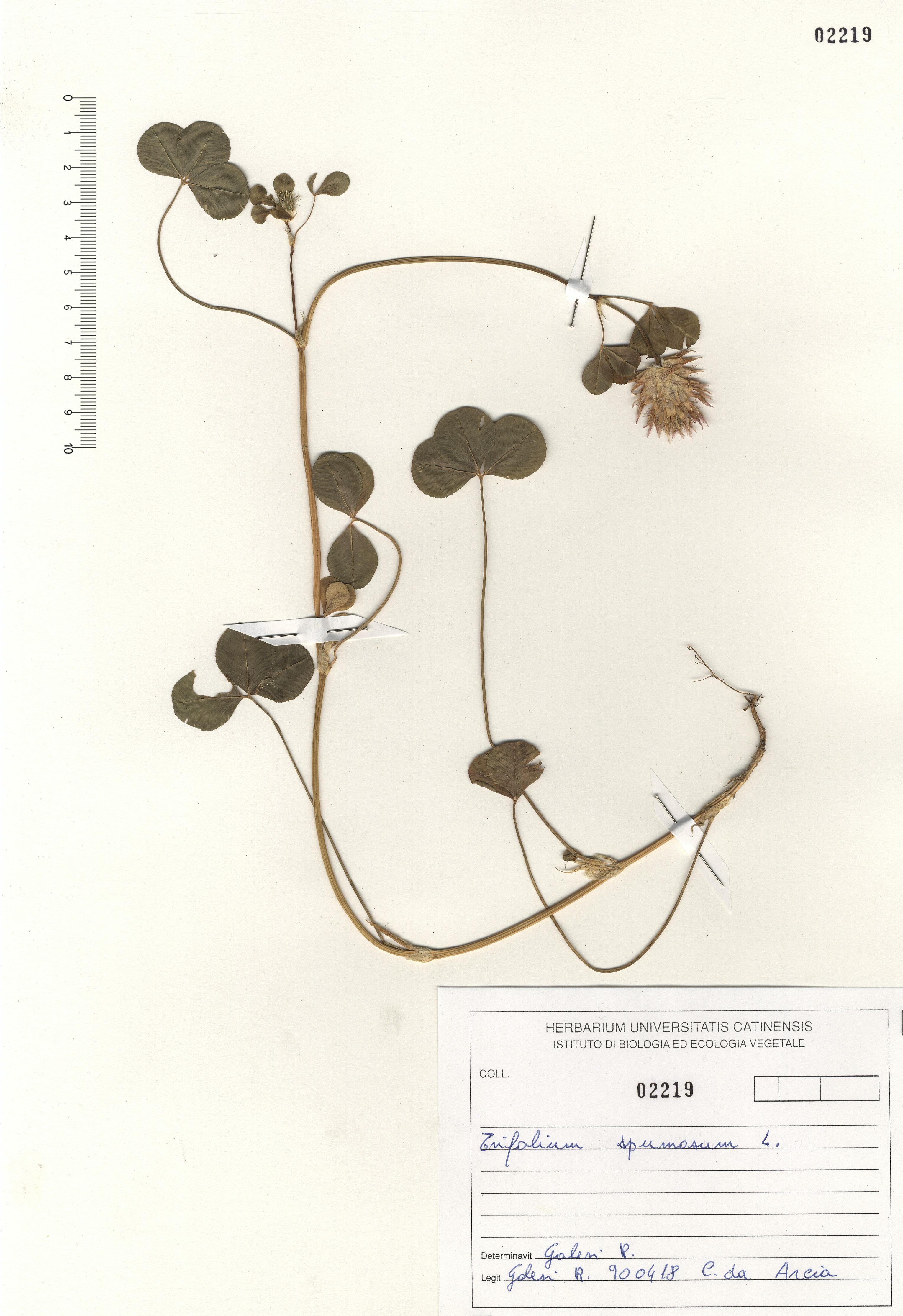 © Hortus Botanicus Catinensis - Herb. sheet 102219<br>