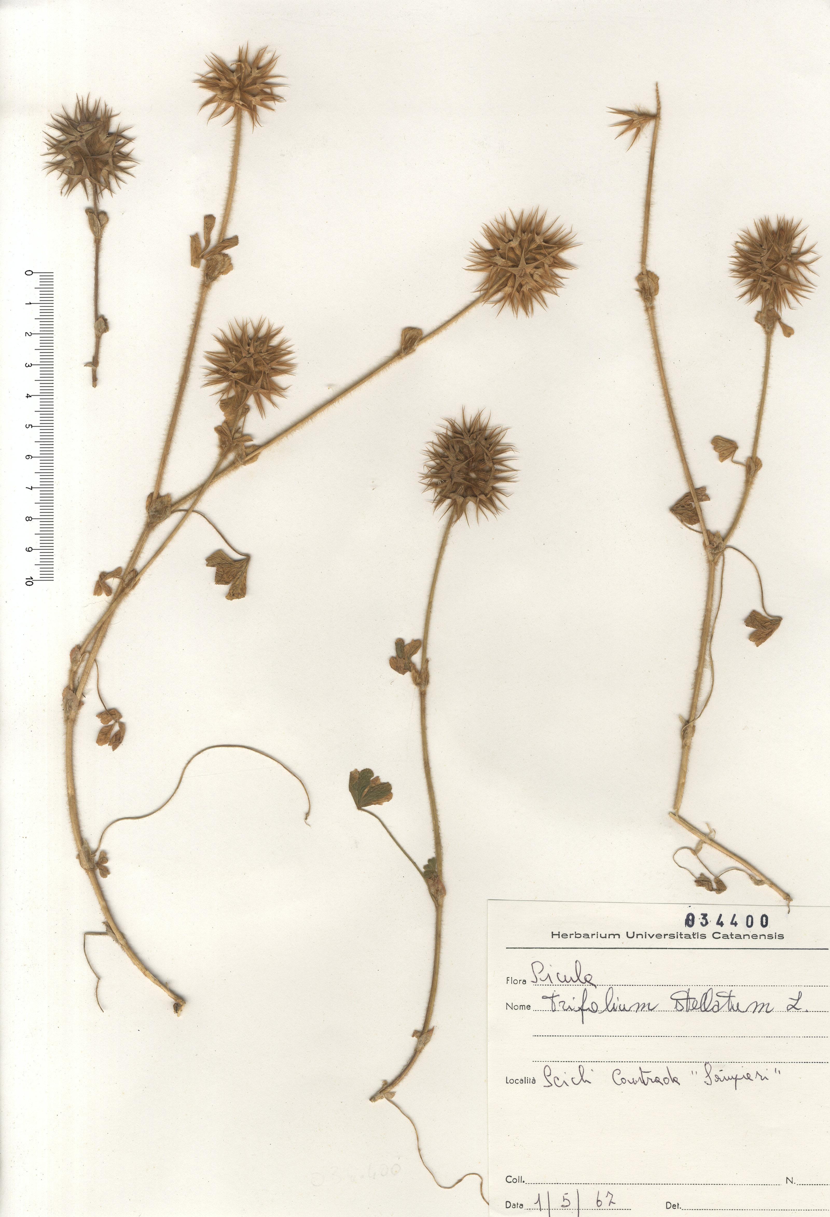 &copy; Hortus Botanicus Catinensis - Herb. sheet 034400<br>