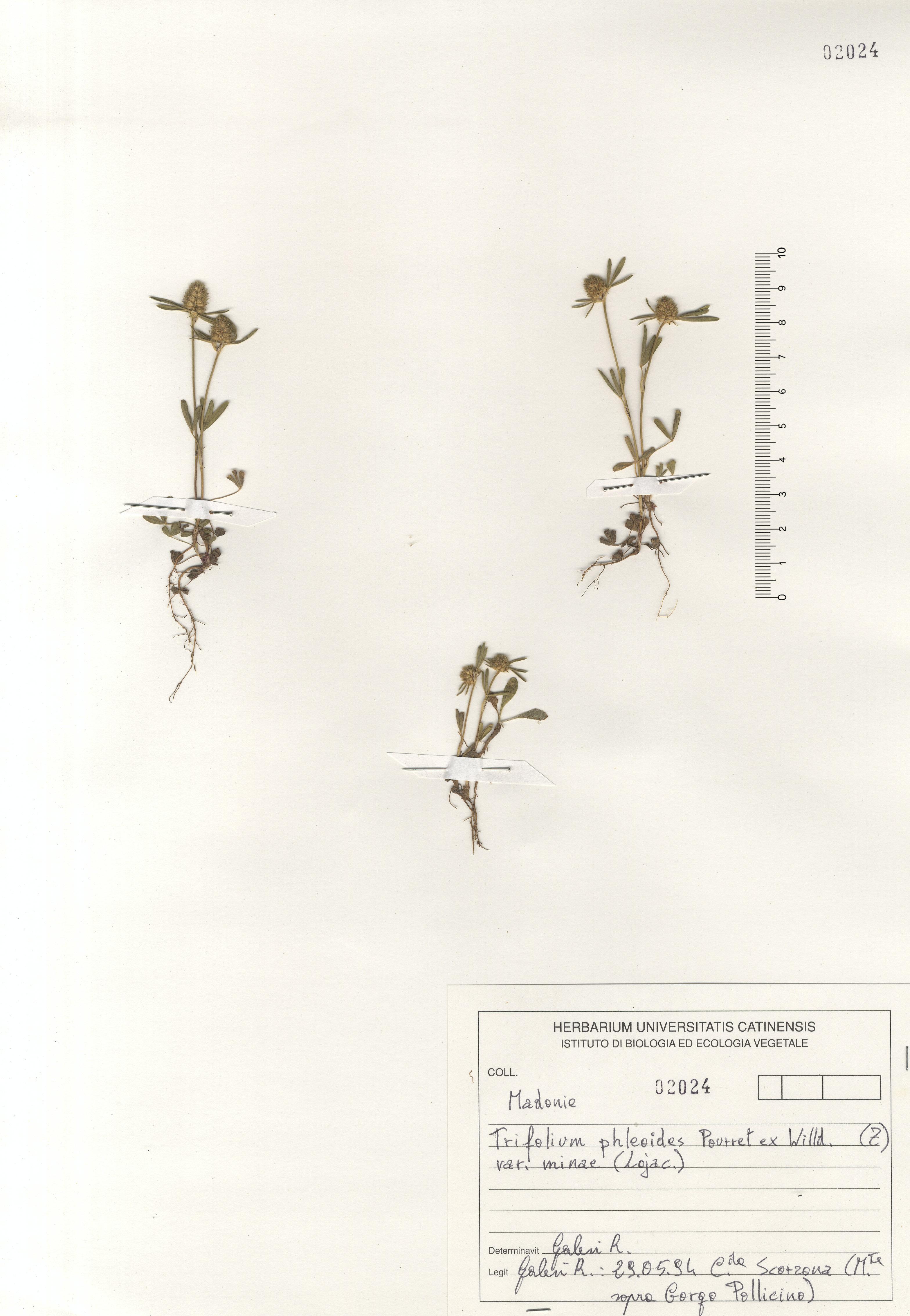 © Hortus Botanicus Catinensis - Herb. sheet 102024<br>
