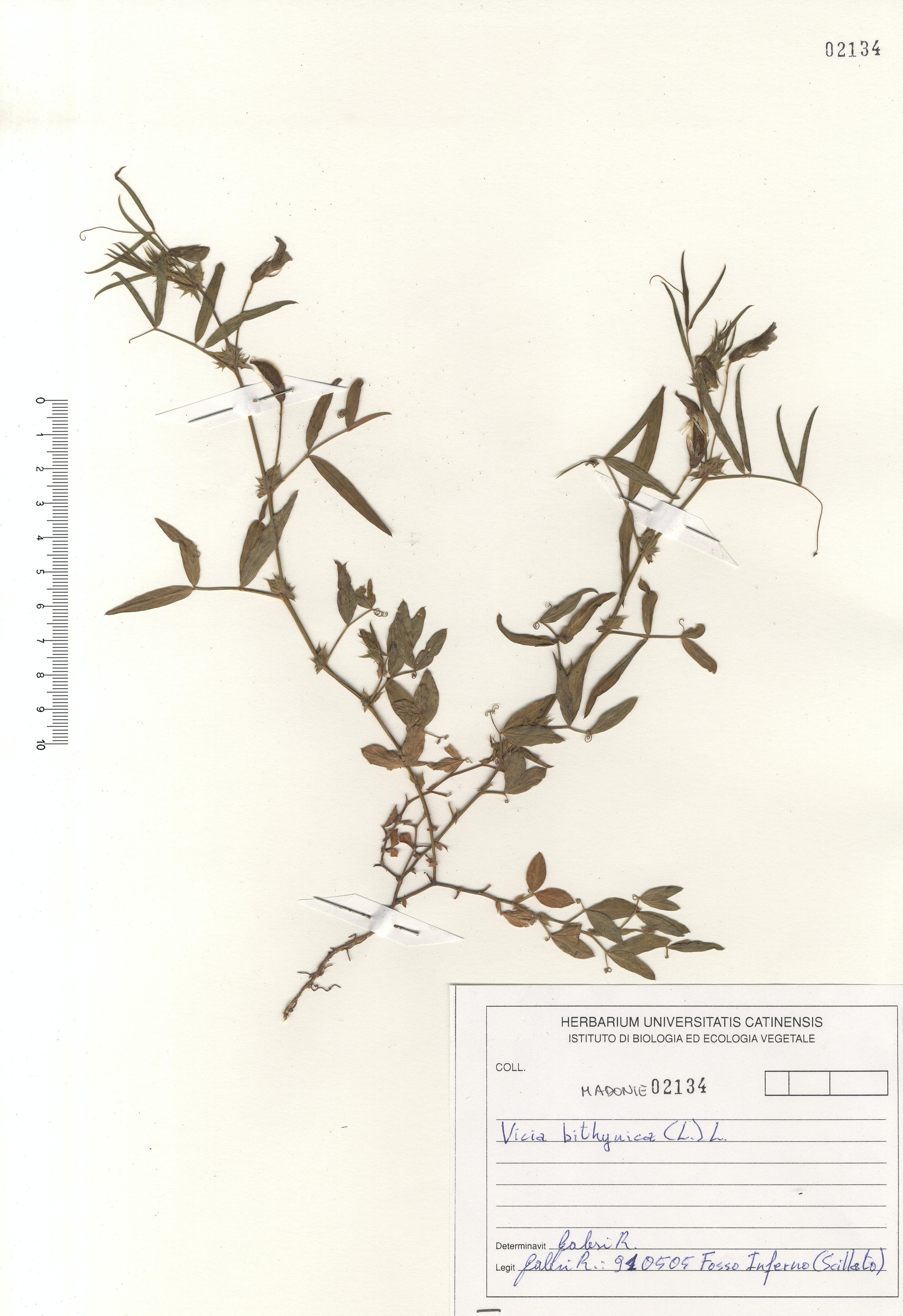 © Hortus Botanicus Catinensis - Herb. sheet 102134<br>
