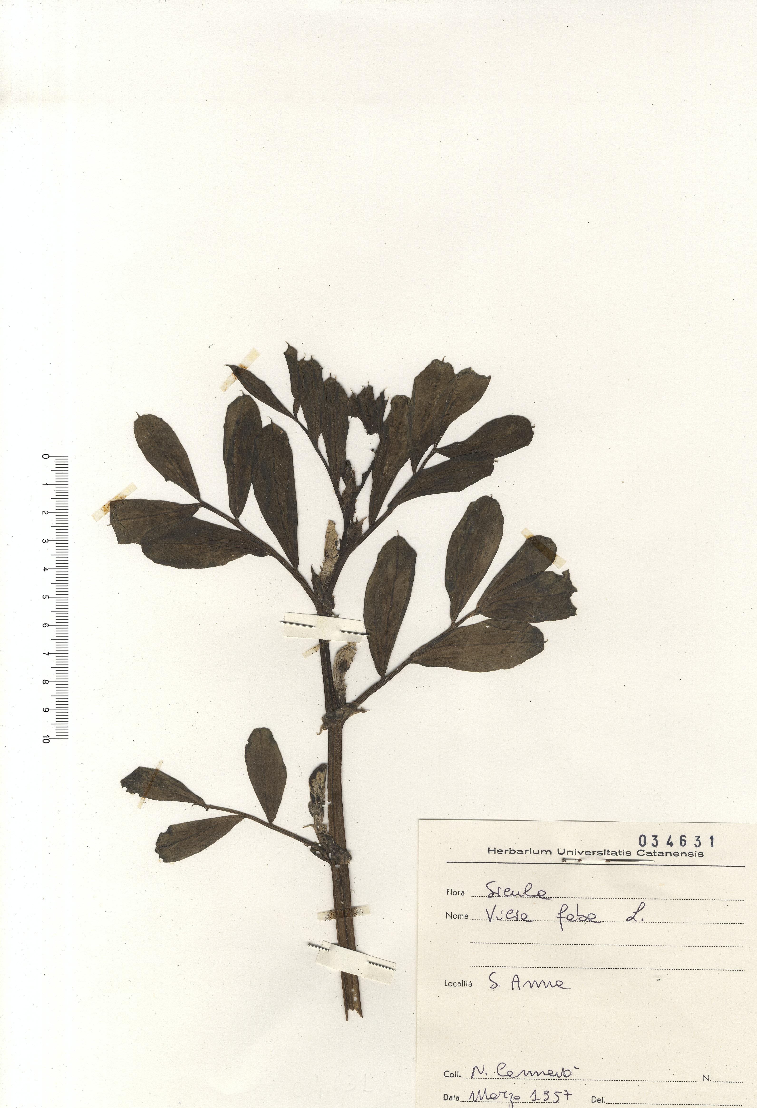 © Hortus Botanicus Catinensis - Herb. sheet 034631<br>