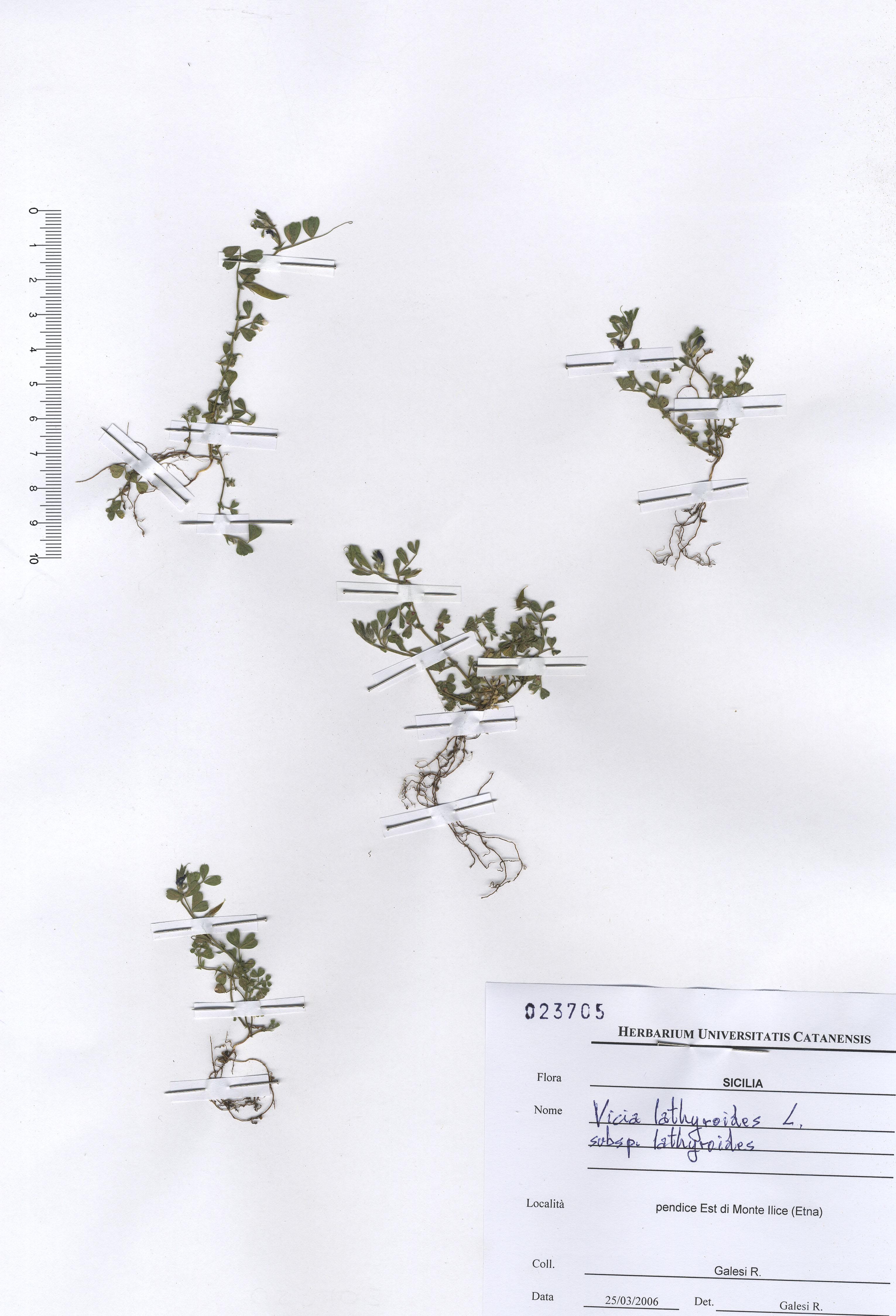 © Hortus Botanicus Catinensis - Herb. sheet 023705<br>