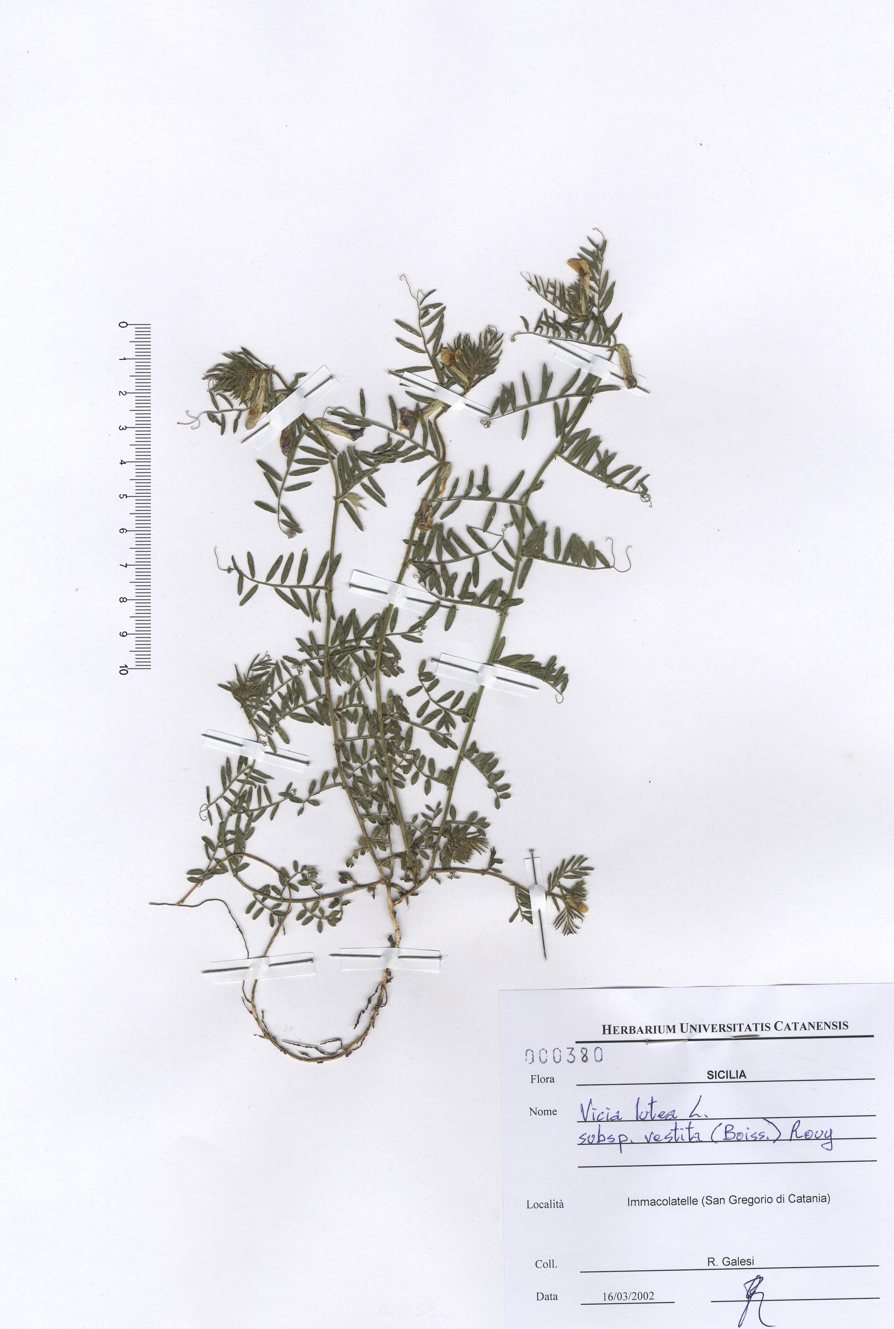 © Hortus Botanicus Catinensis - Herb. sheet 000380<br>