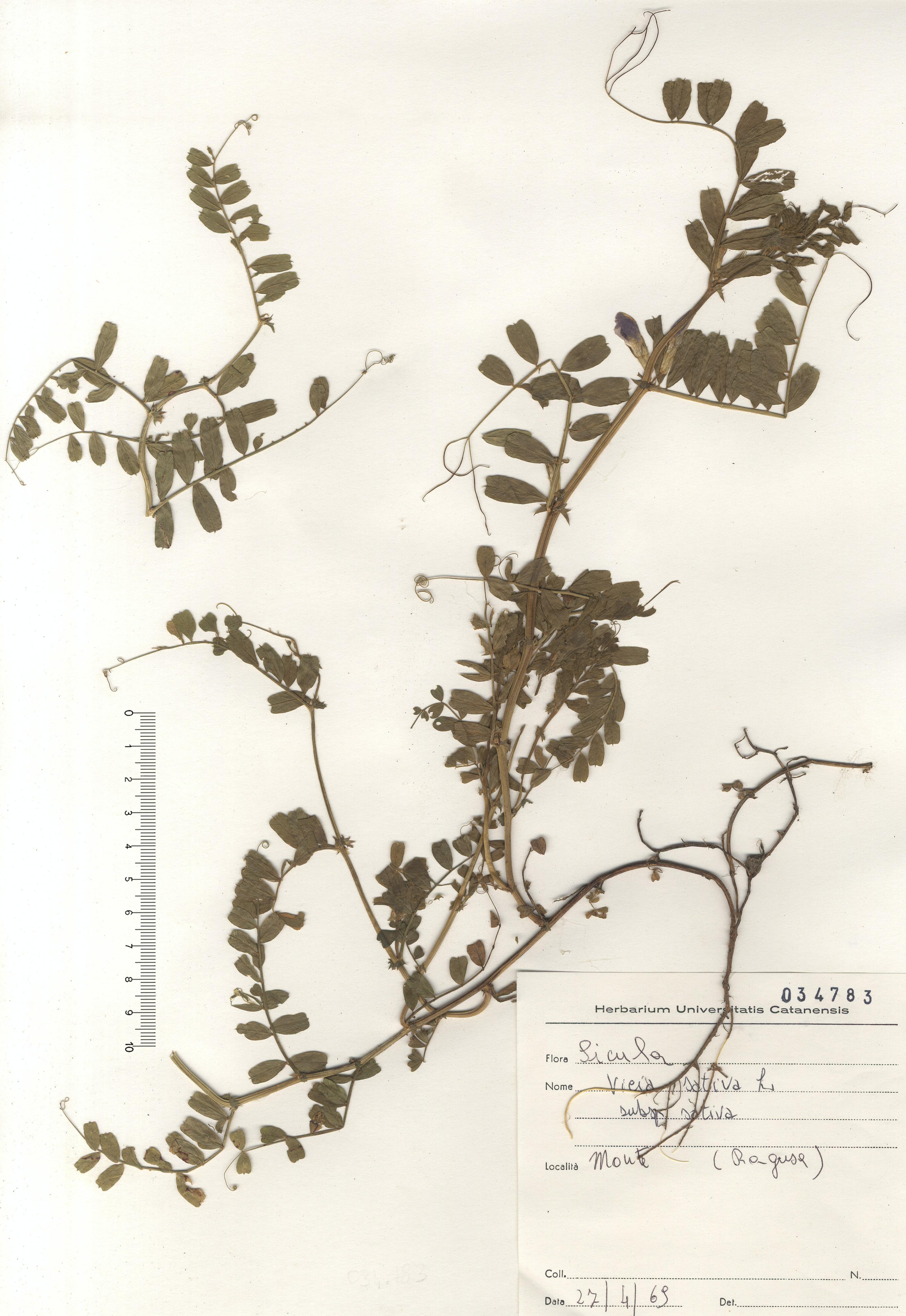 © Hortus Botanicus Catinensis - Herb. sheet 034783<br>