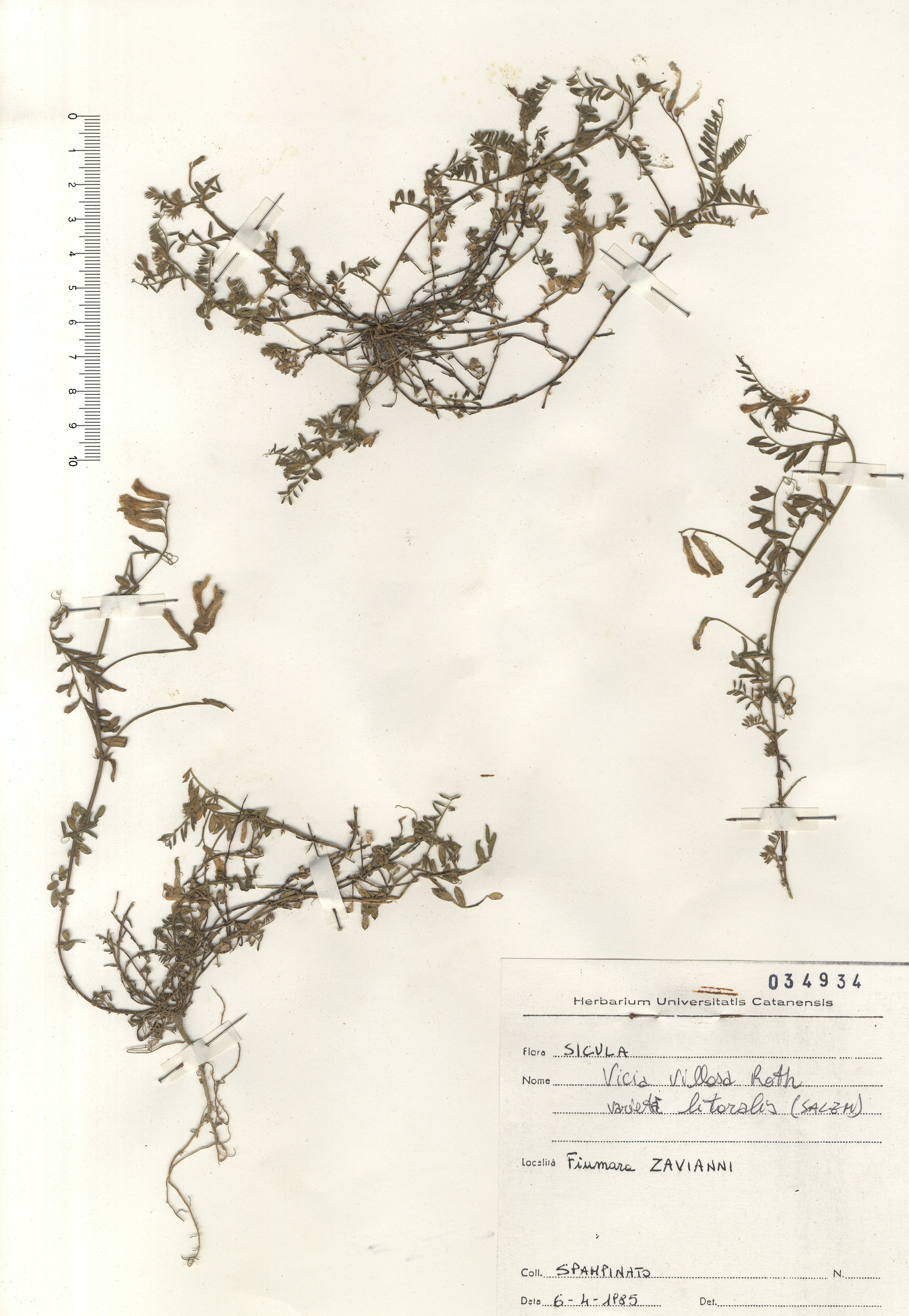 © Hortus Botanicus Catinensis - Herb. sheet 034934<br>