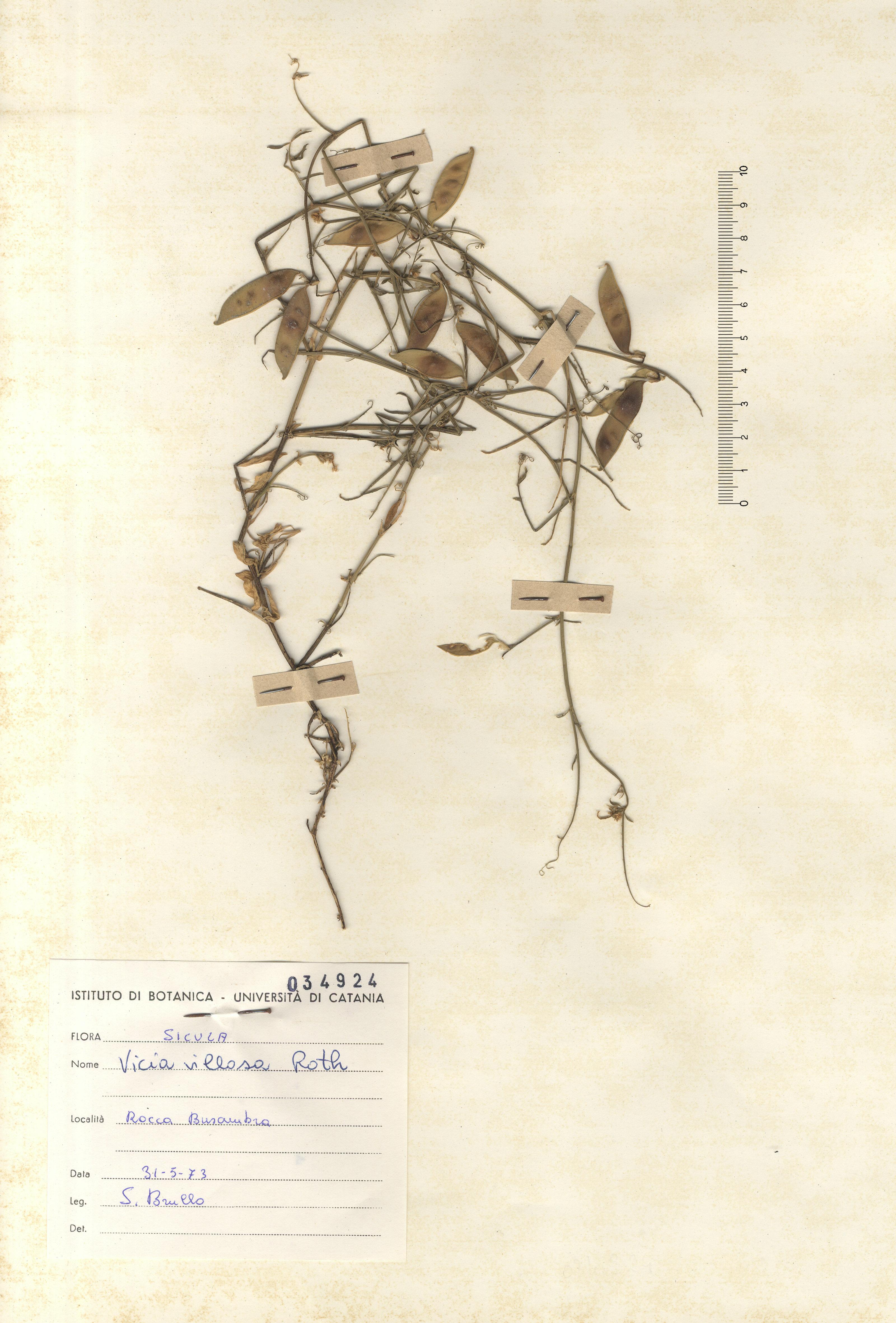 © Hortus Botanicus Catinensis - Herb. sheet 034924<br>