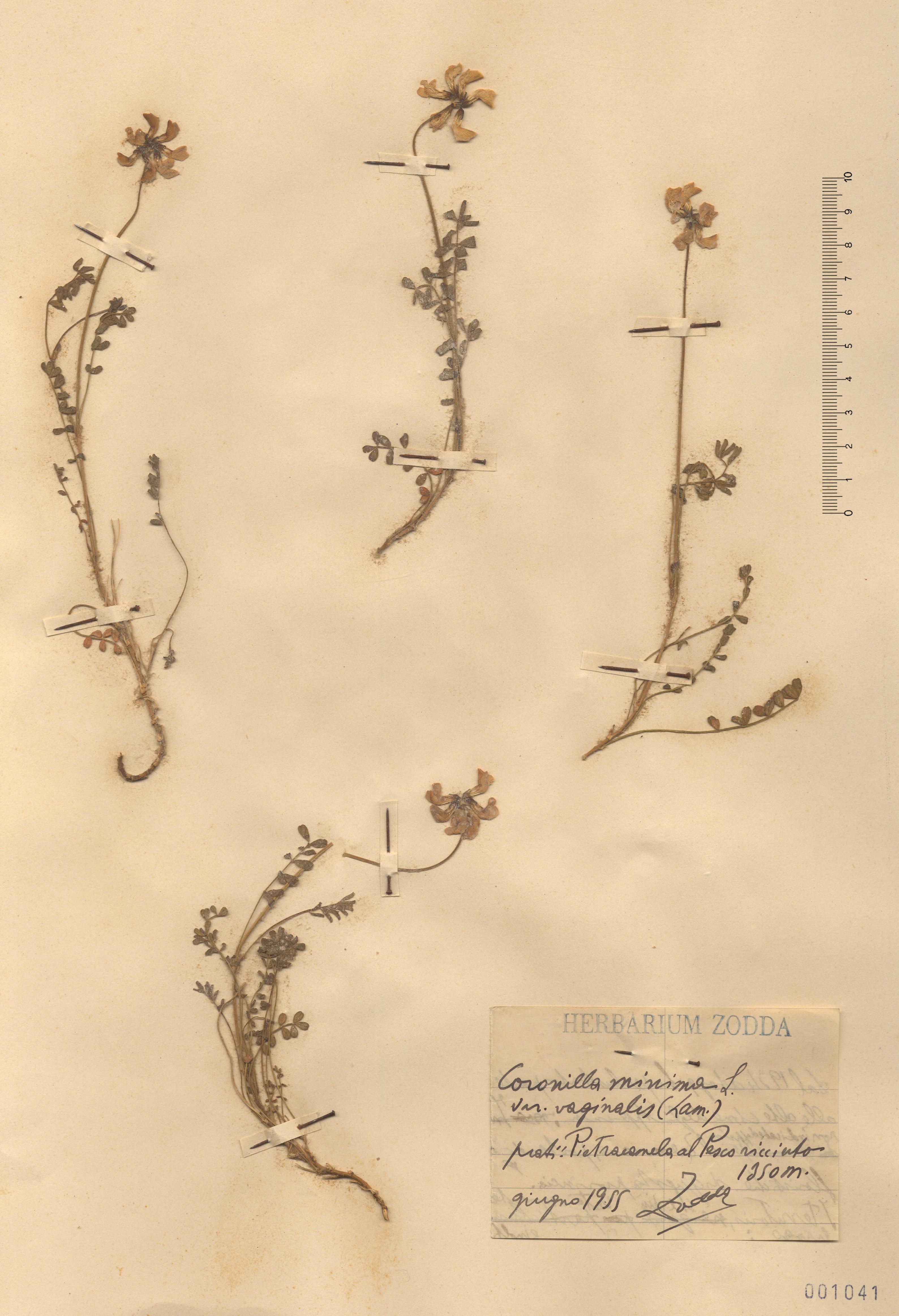© Hortus Botanicus Catinensis - Herb. sheet 001041<br>