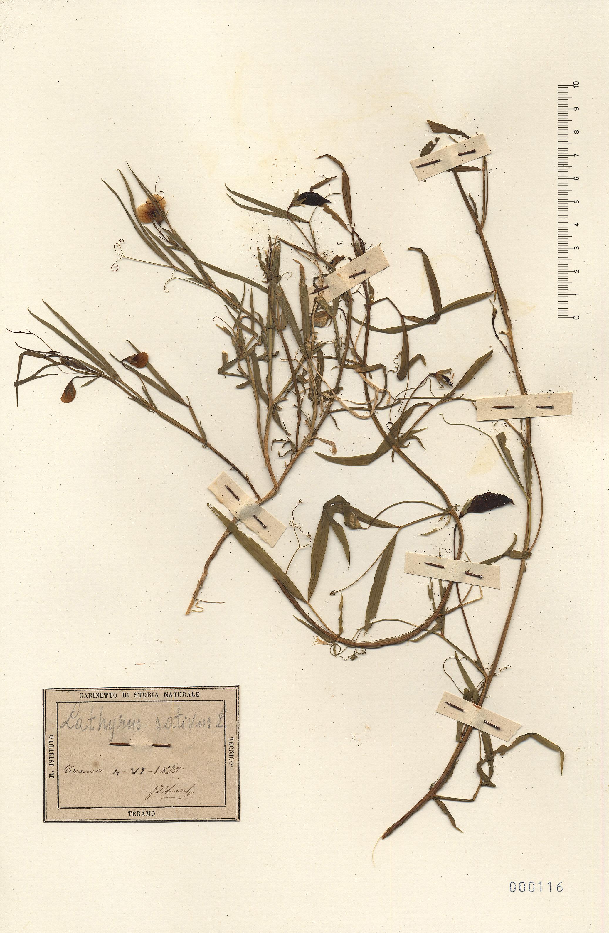 © Hortus Botanicus Catinensis - Herb. sheet 000116<br>