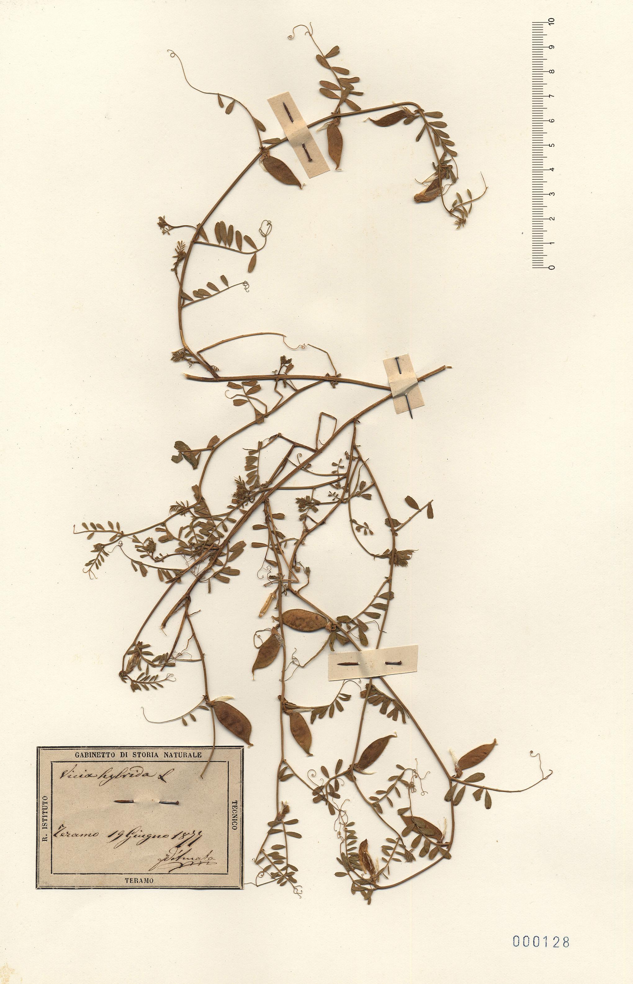 © Hortus Botanicus Catinensis - Herb. sheet 000128<br>